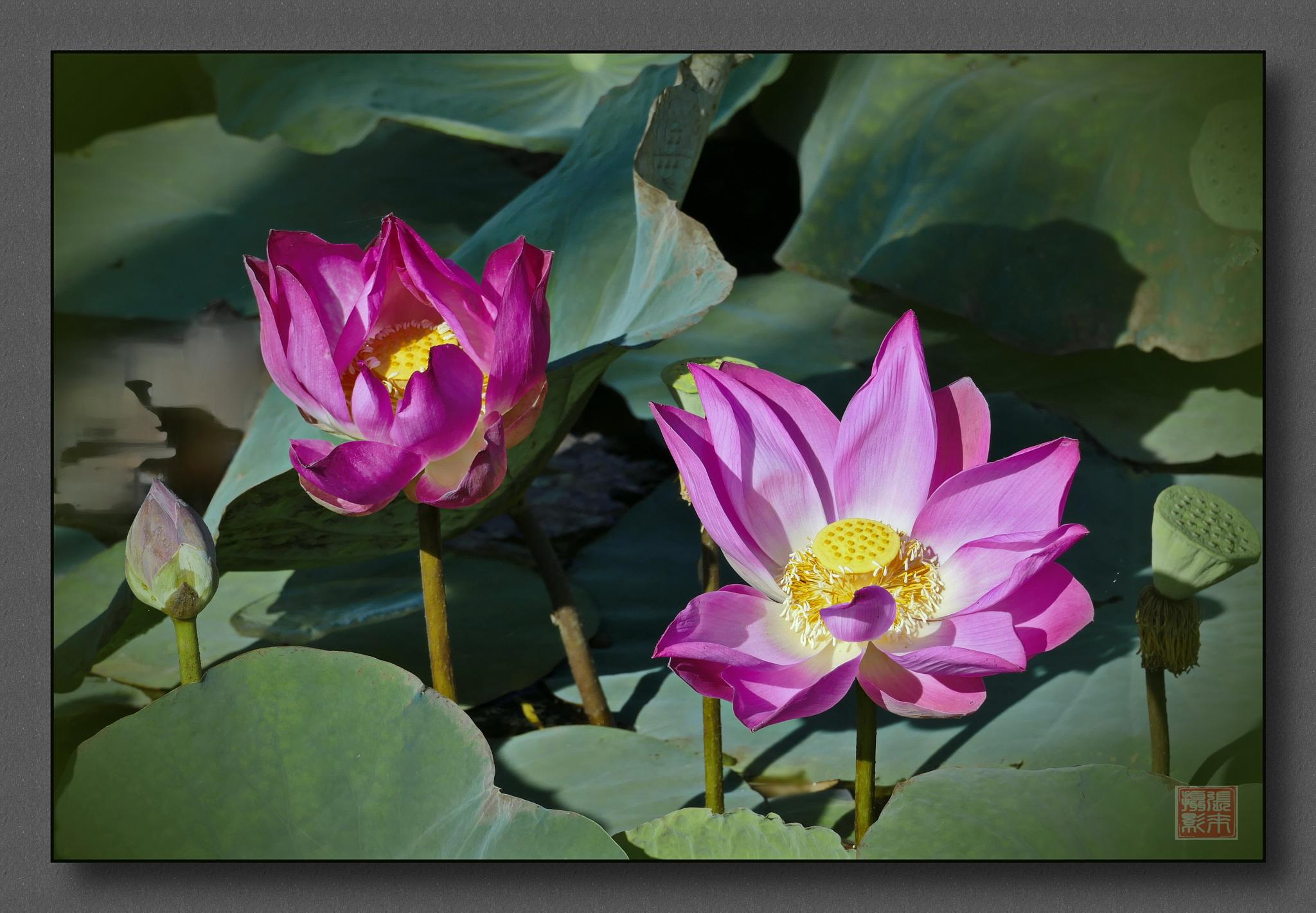 double lotus by Looi Chang