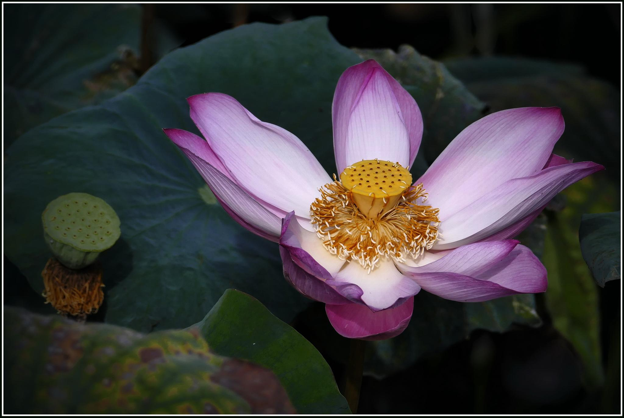 Photo in Nature #lotus #flower #nature