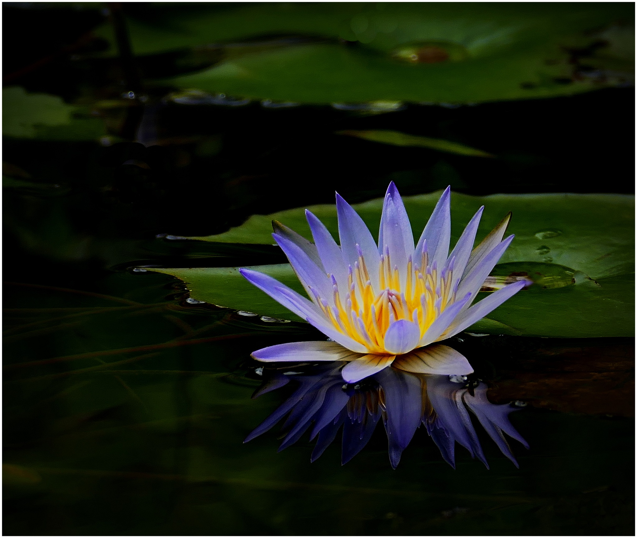 waterlily by Looi Chang