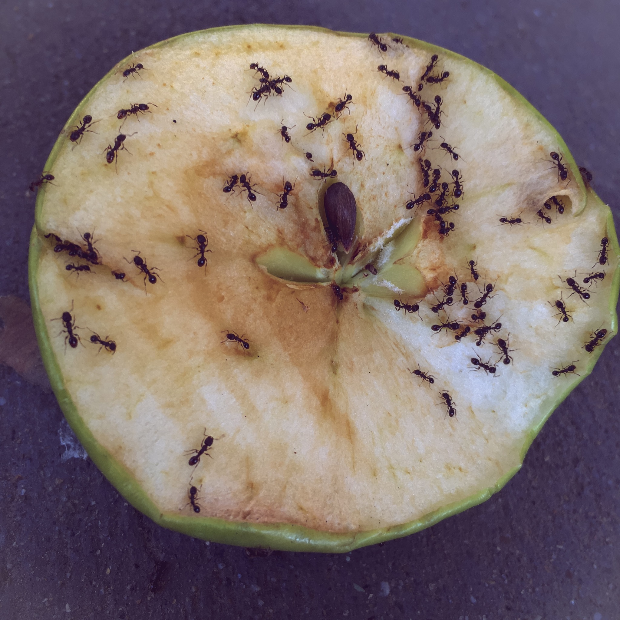 Apple and ants, this morning by Julie Johnson