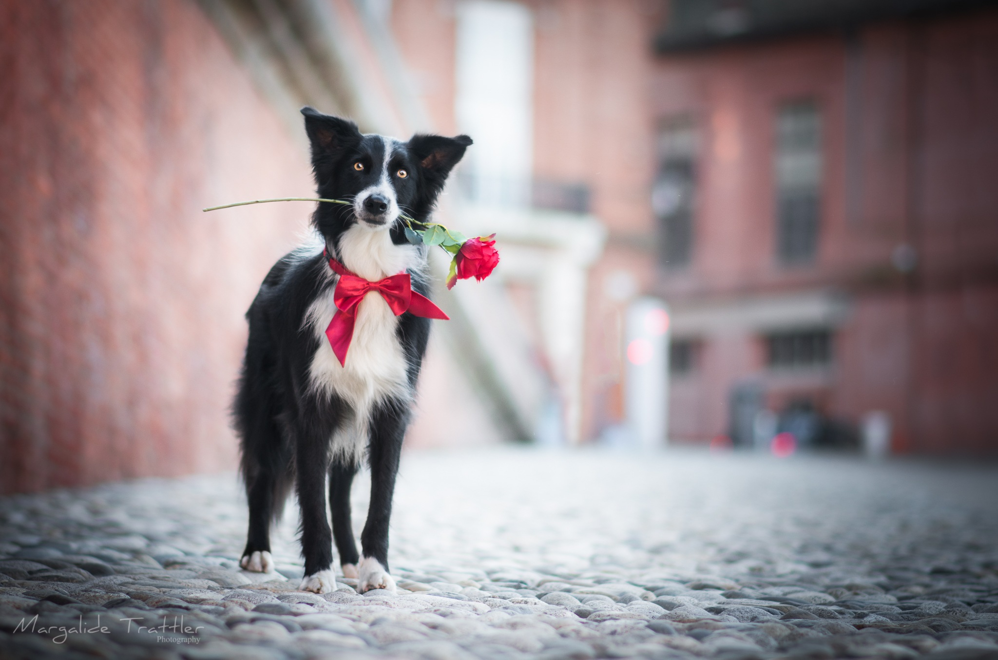 Photo in Animal #border collie #rose #dog