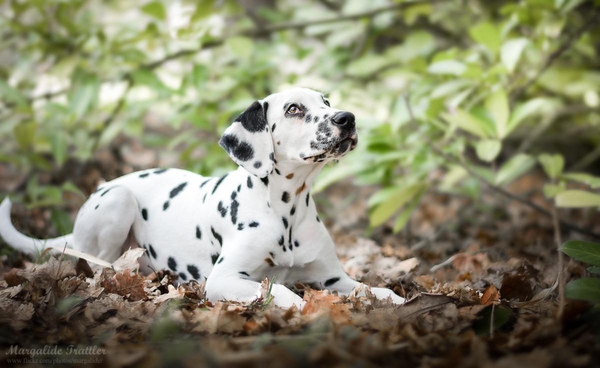 Dalmatian puppy by Margalide Balto