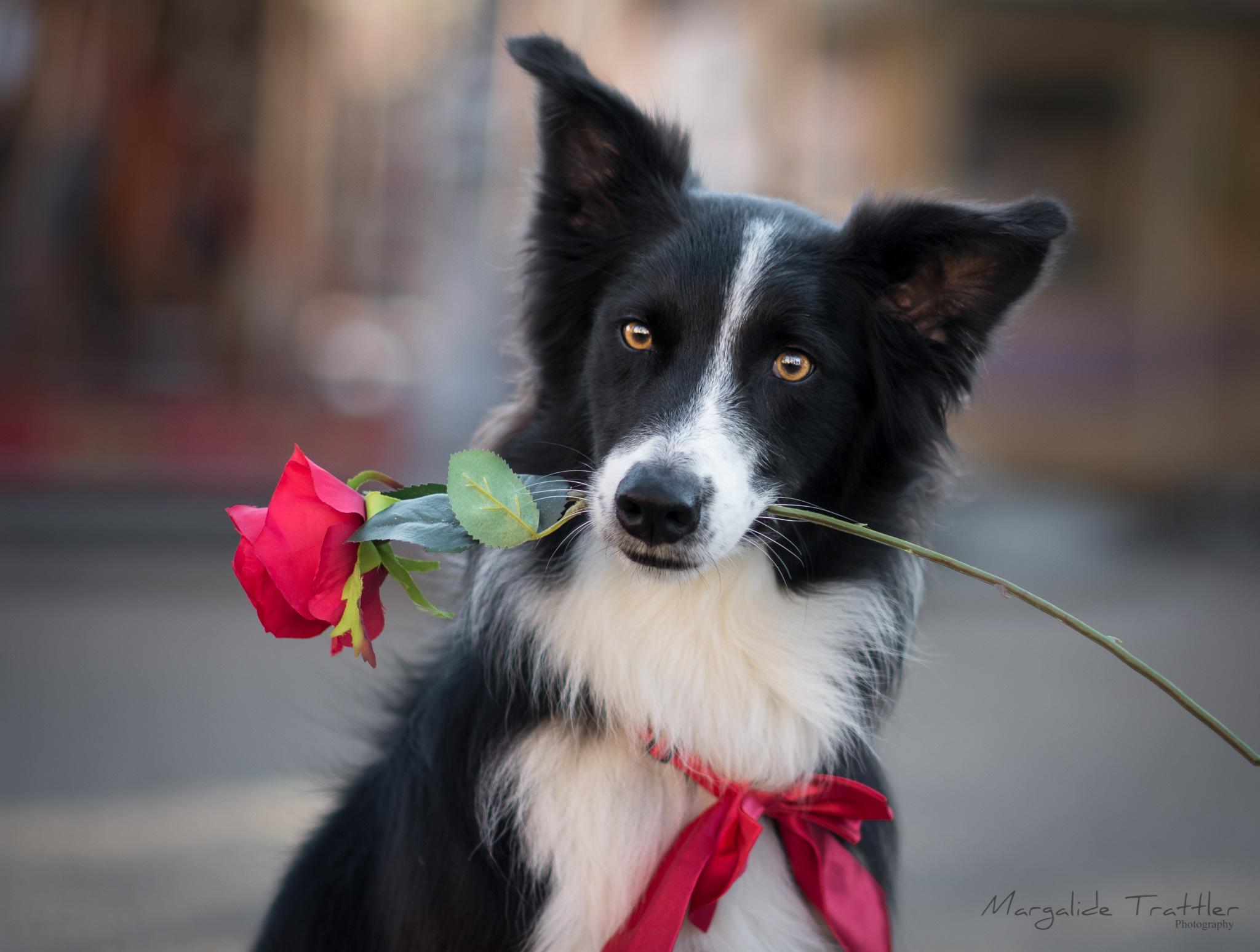 Photo in Random #border collie #valentine's day #dog