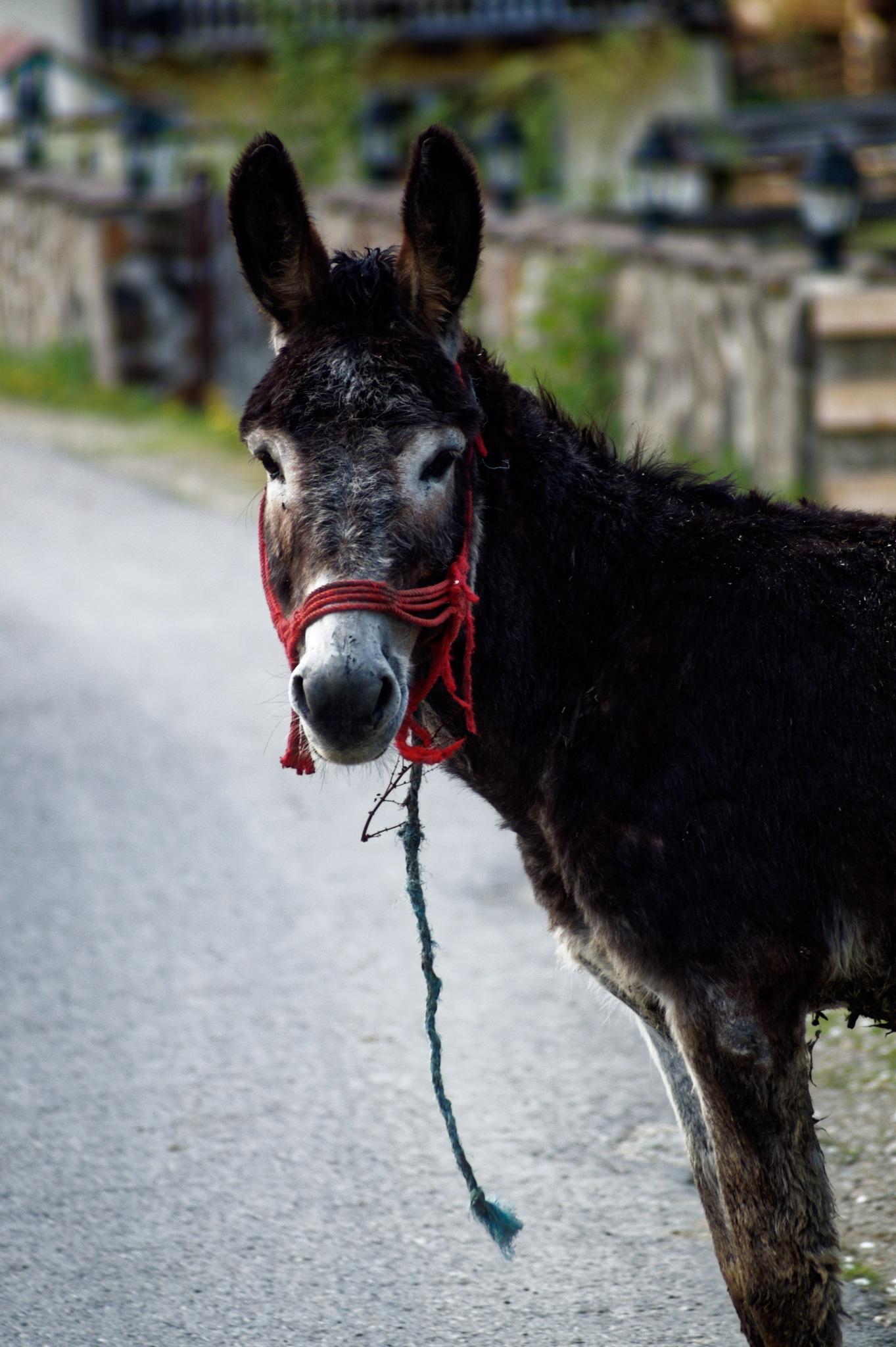 Adrian ,the opportunist donkey... by Dumitru Dan Corban