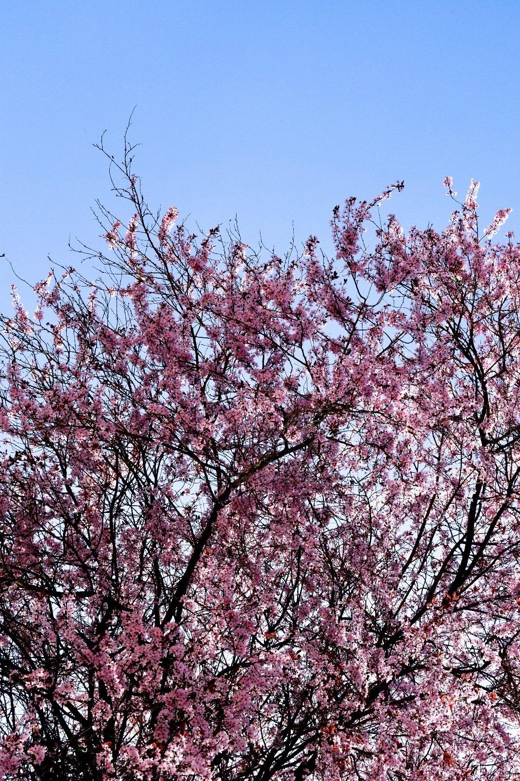 Pink Flowers by Ivana Castelo-Branco