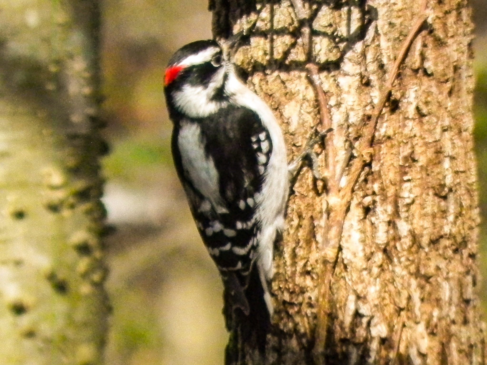 male downy woodpecker by amanda b.