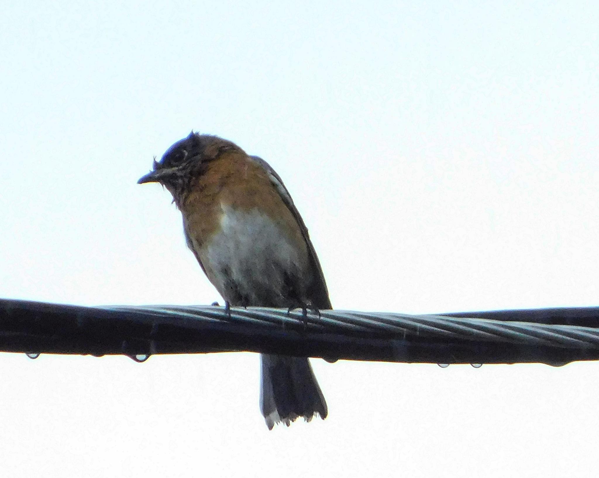 eastern bluebird by amanda b.