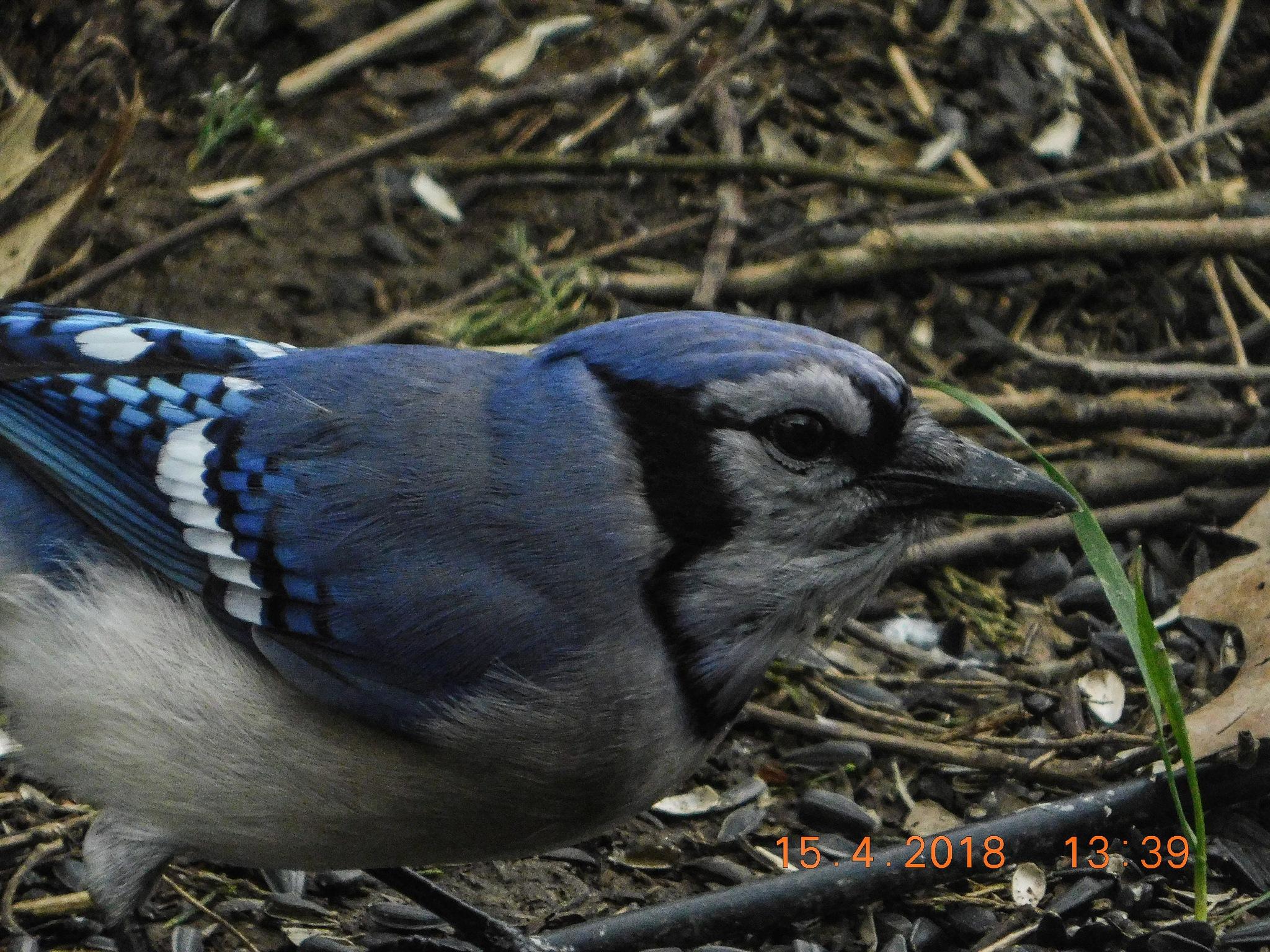 blue jay by amanda b.