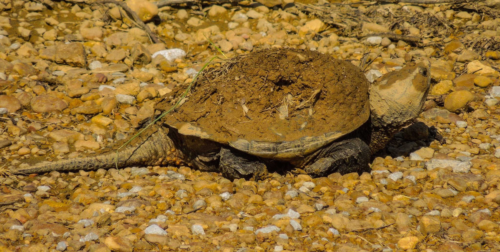 snapping turtle by amanda b.