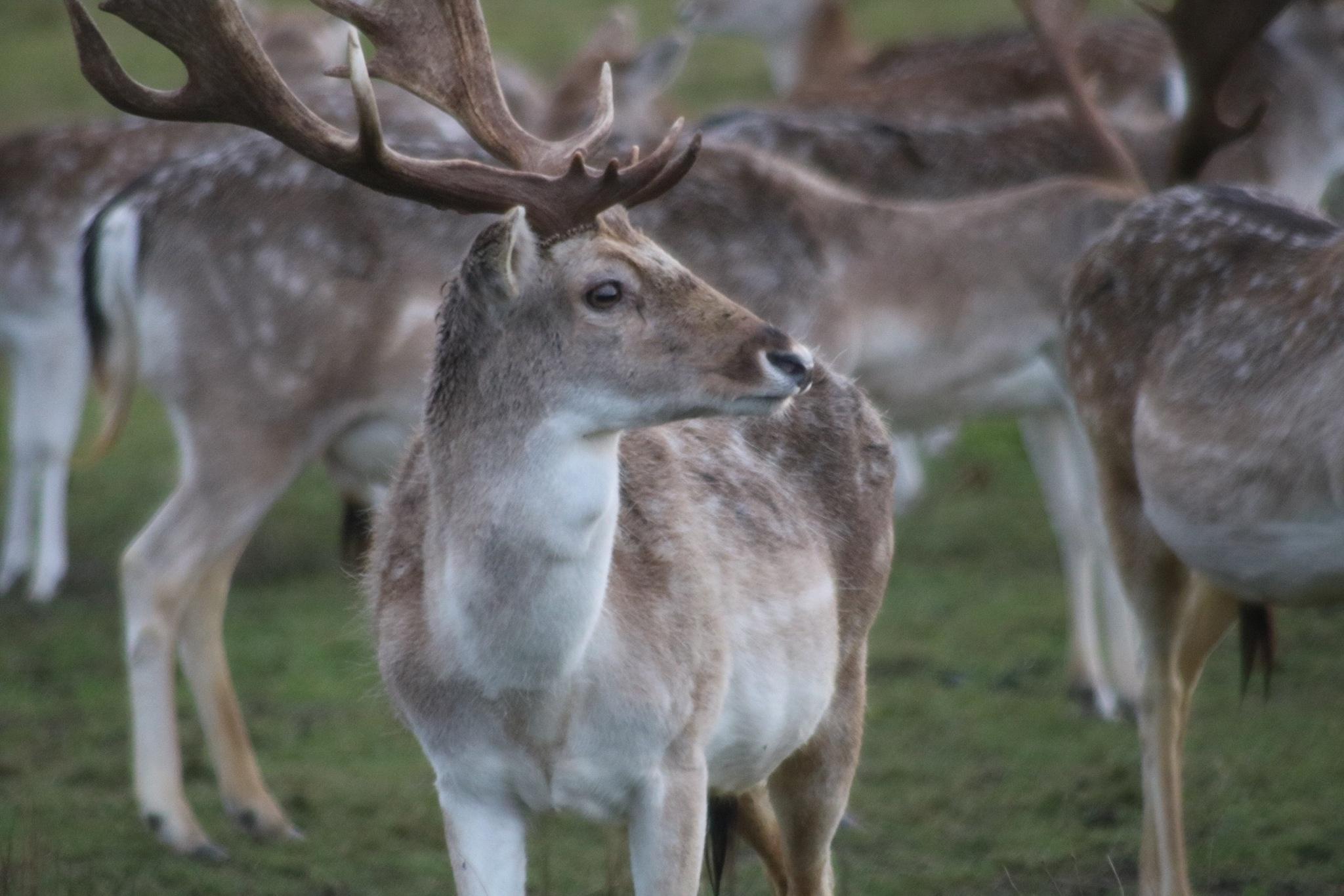 Deer at Attingham Park  by Gaz Williams