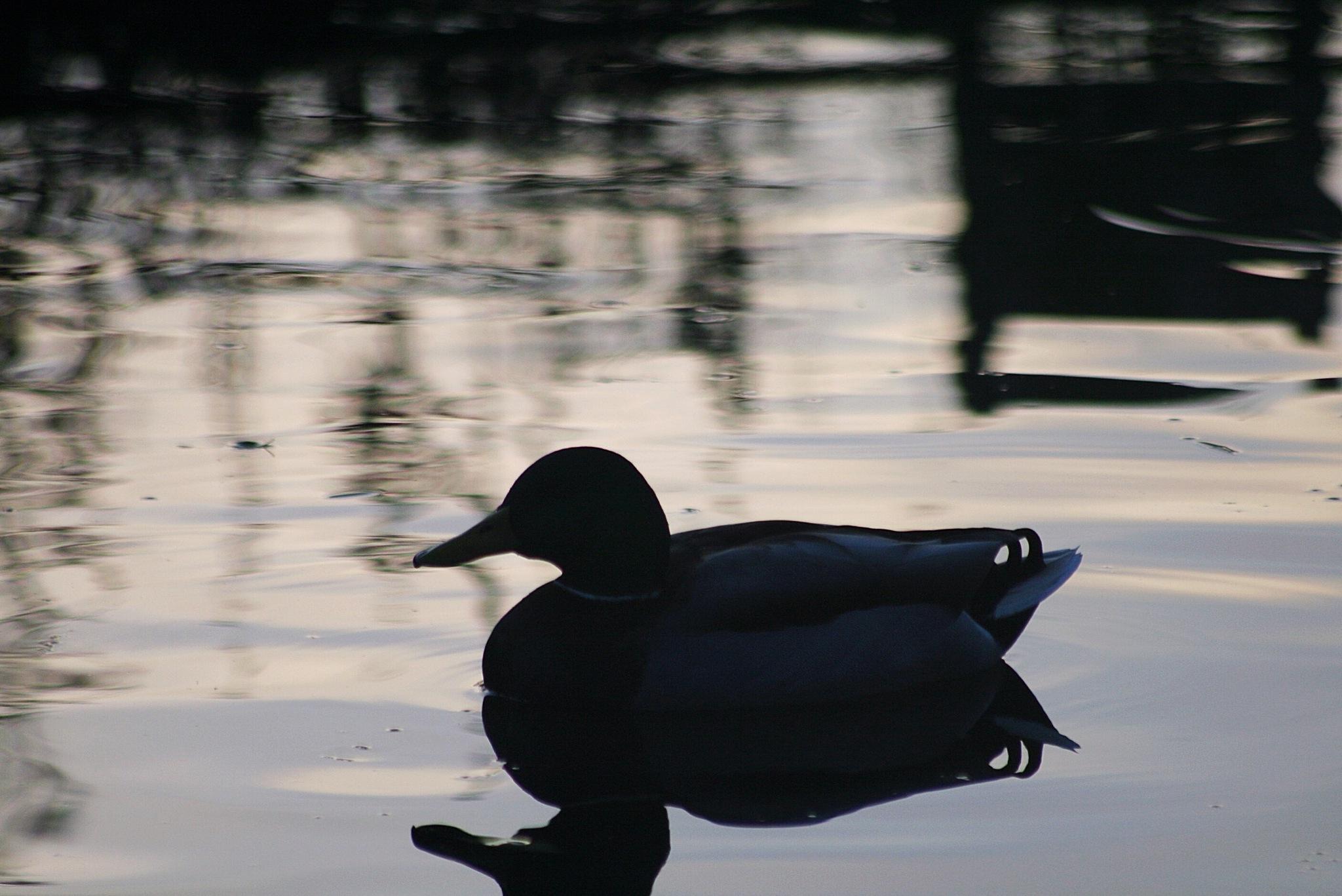 Mallard on the canal  by Gaz Williams