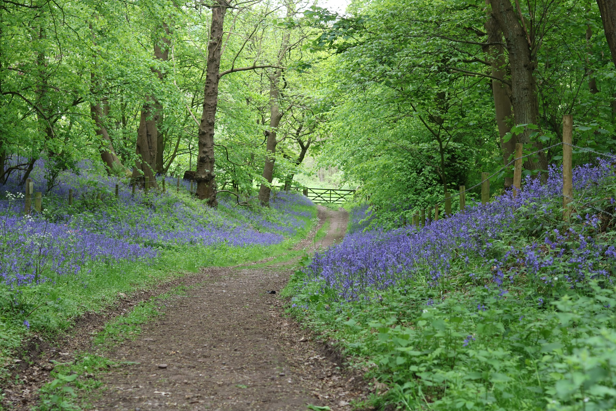 Aqualate nature reserve bluebells  by Gaz Williams