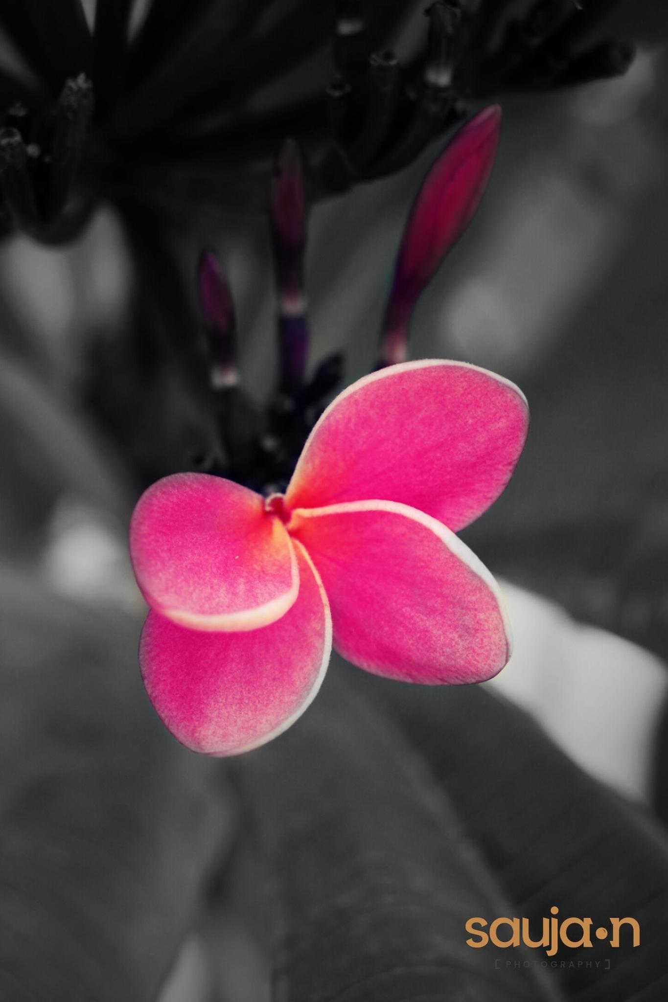 flower  by saujan thaiba