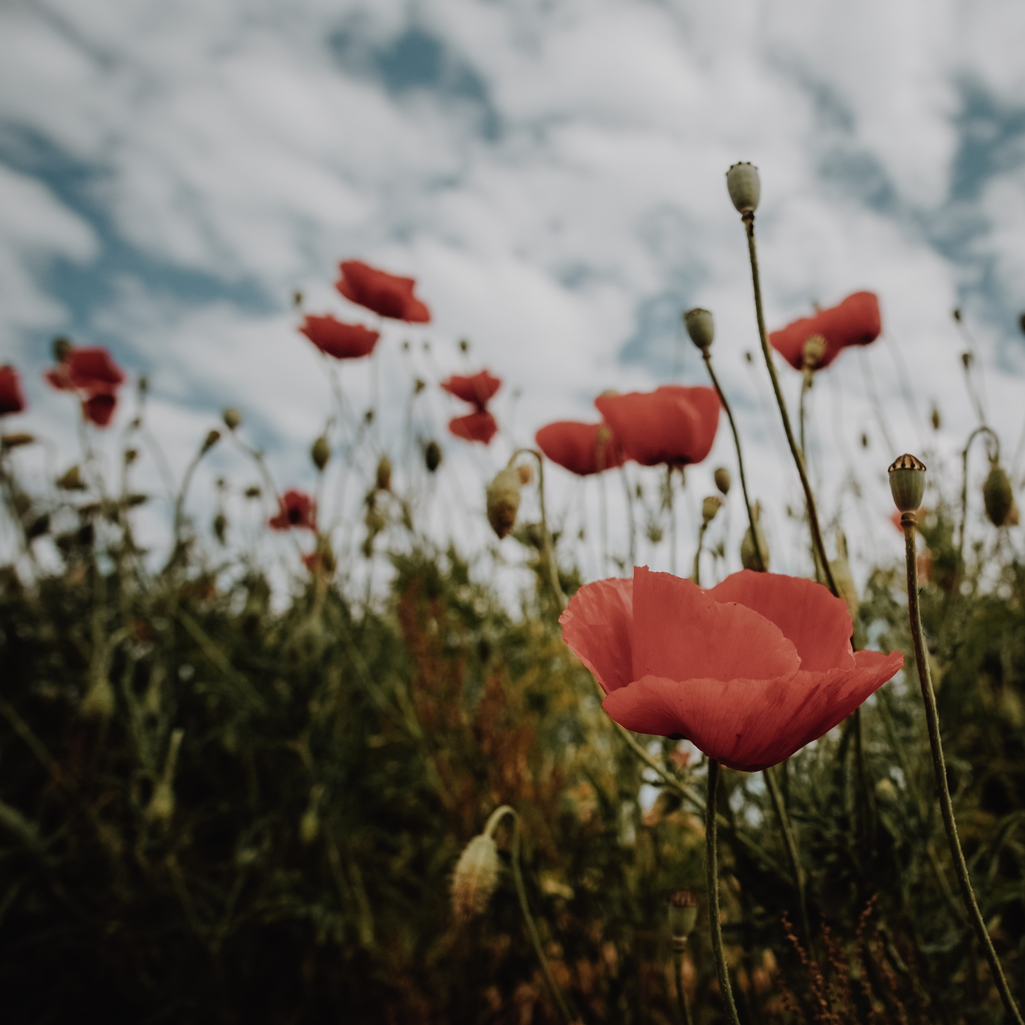 Poppy by MirrorlessFocus