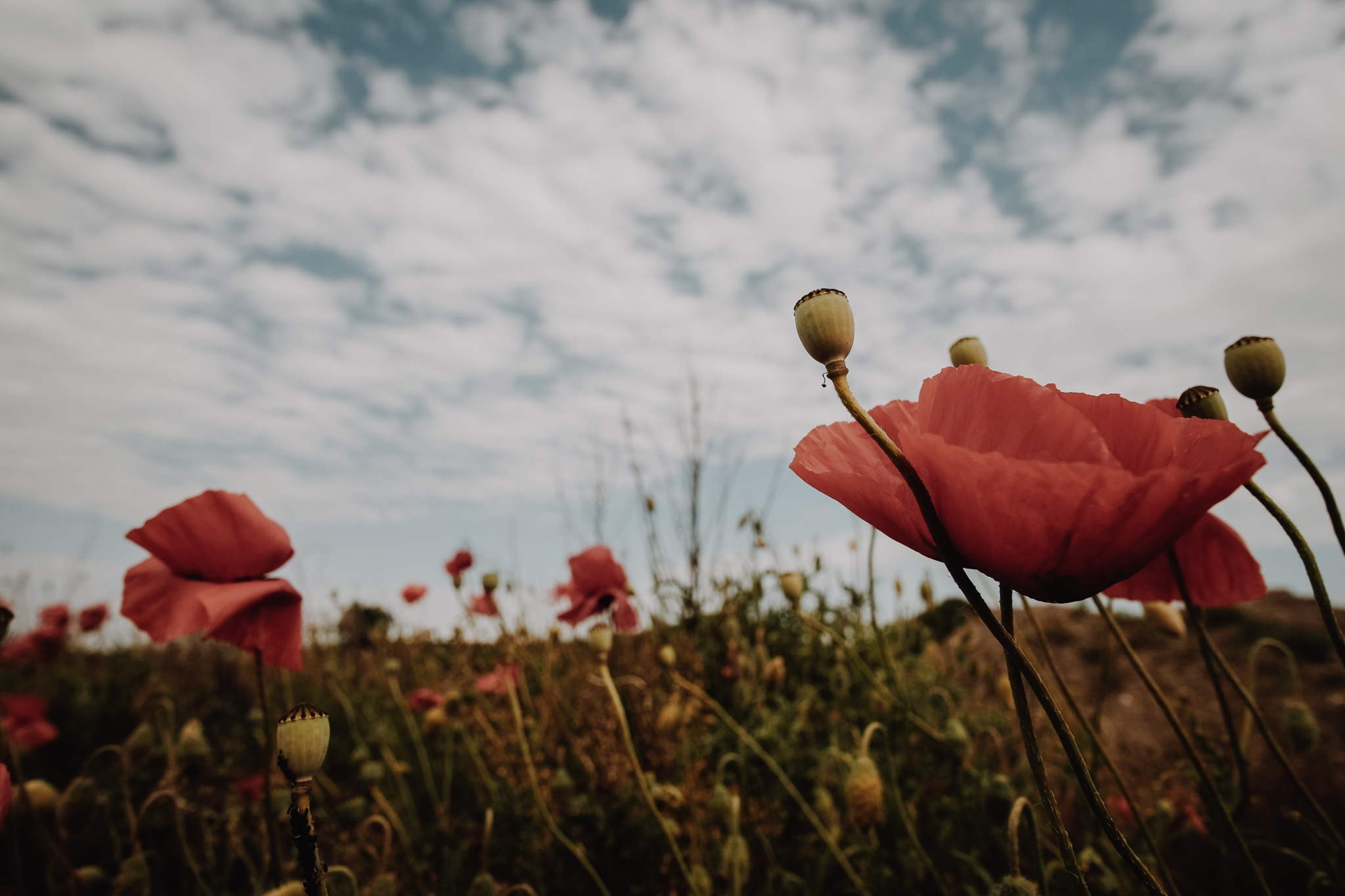 Some Poppies by MirrorlessFocus