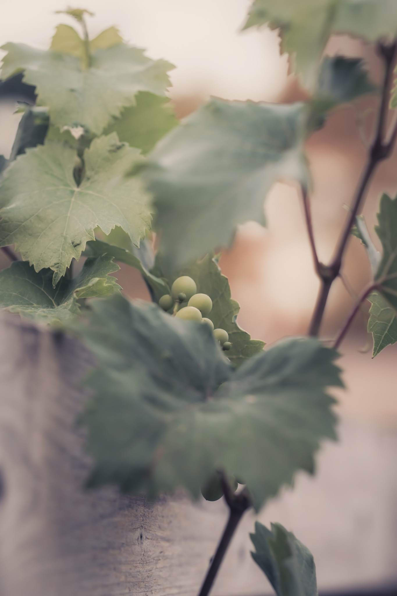 Grapes to be by MirrorlessFocus