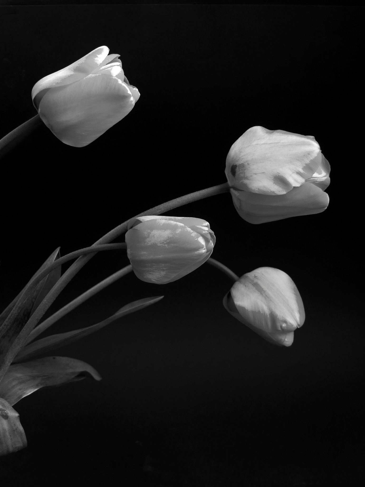tulips by Lou Escandell