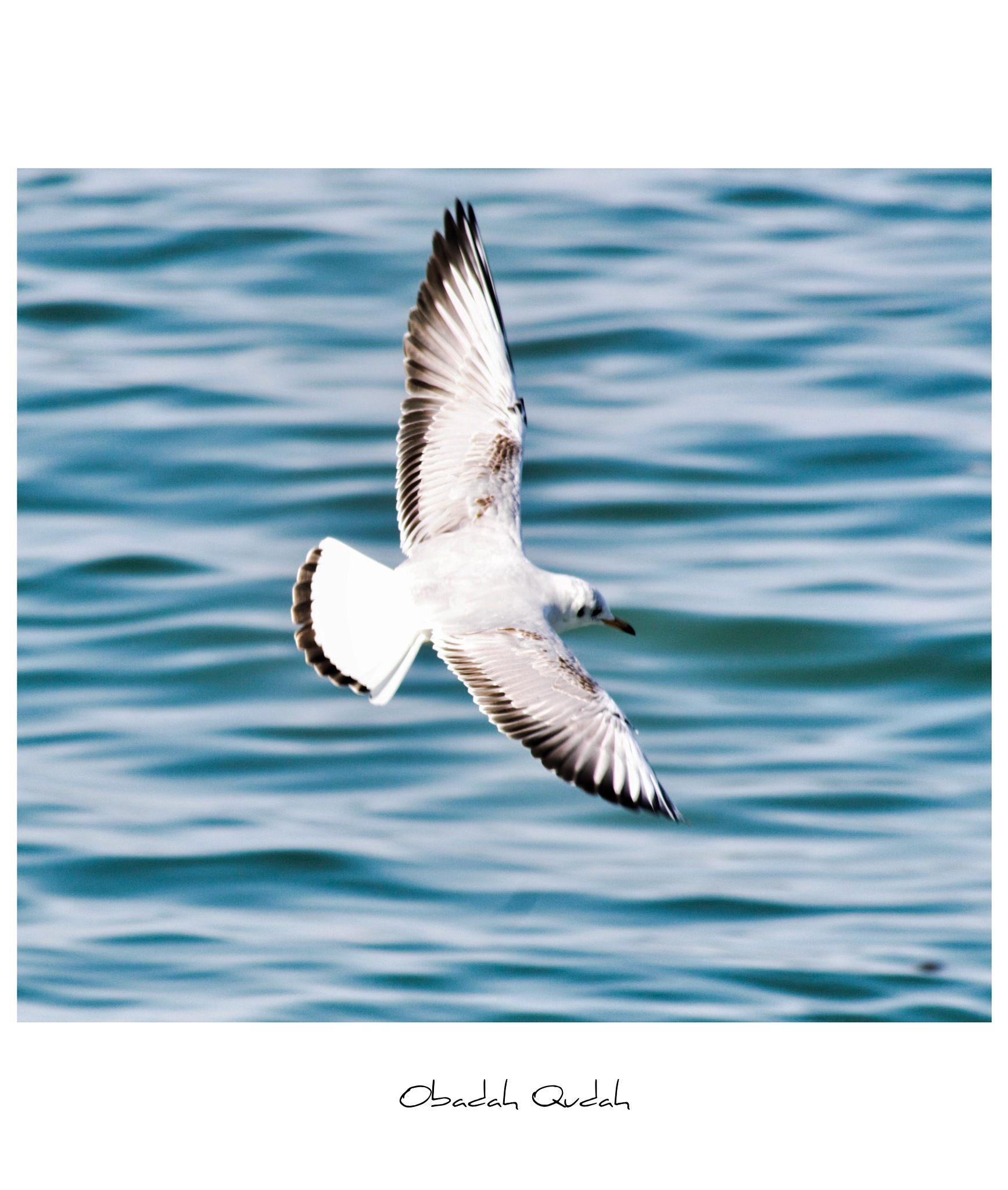 Seagull  by Obadah Qudah