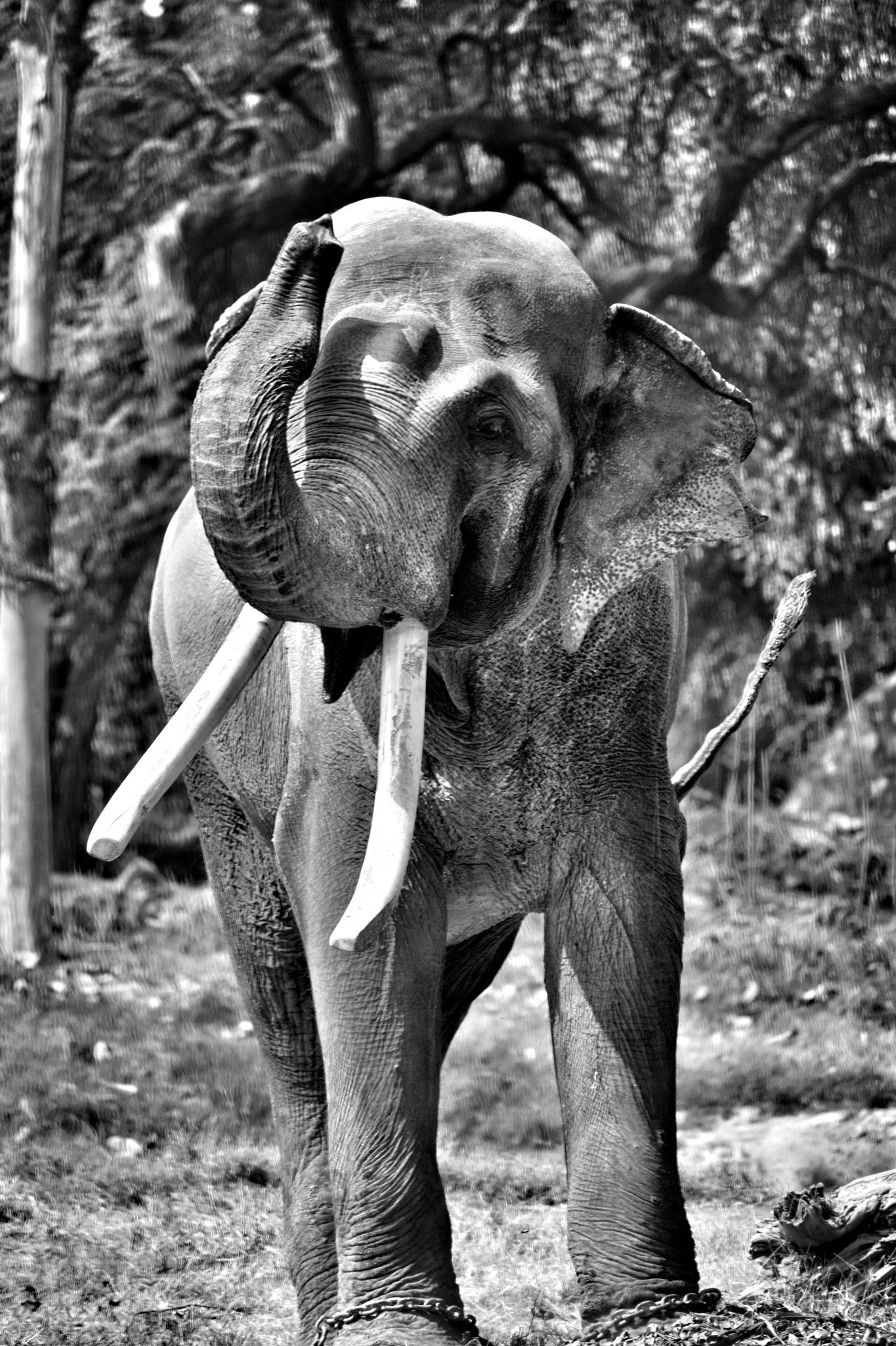 Elephant by Arvind Kumar Yadav