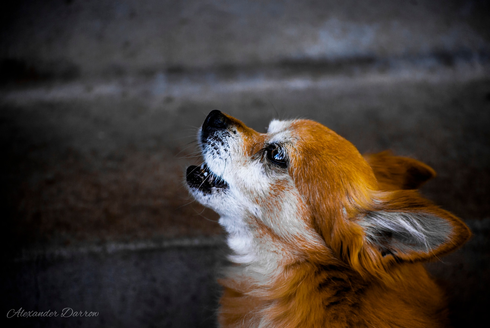 Bandit Howling by primamateriaphotos