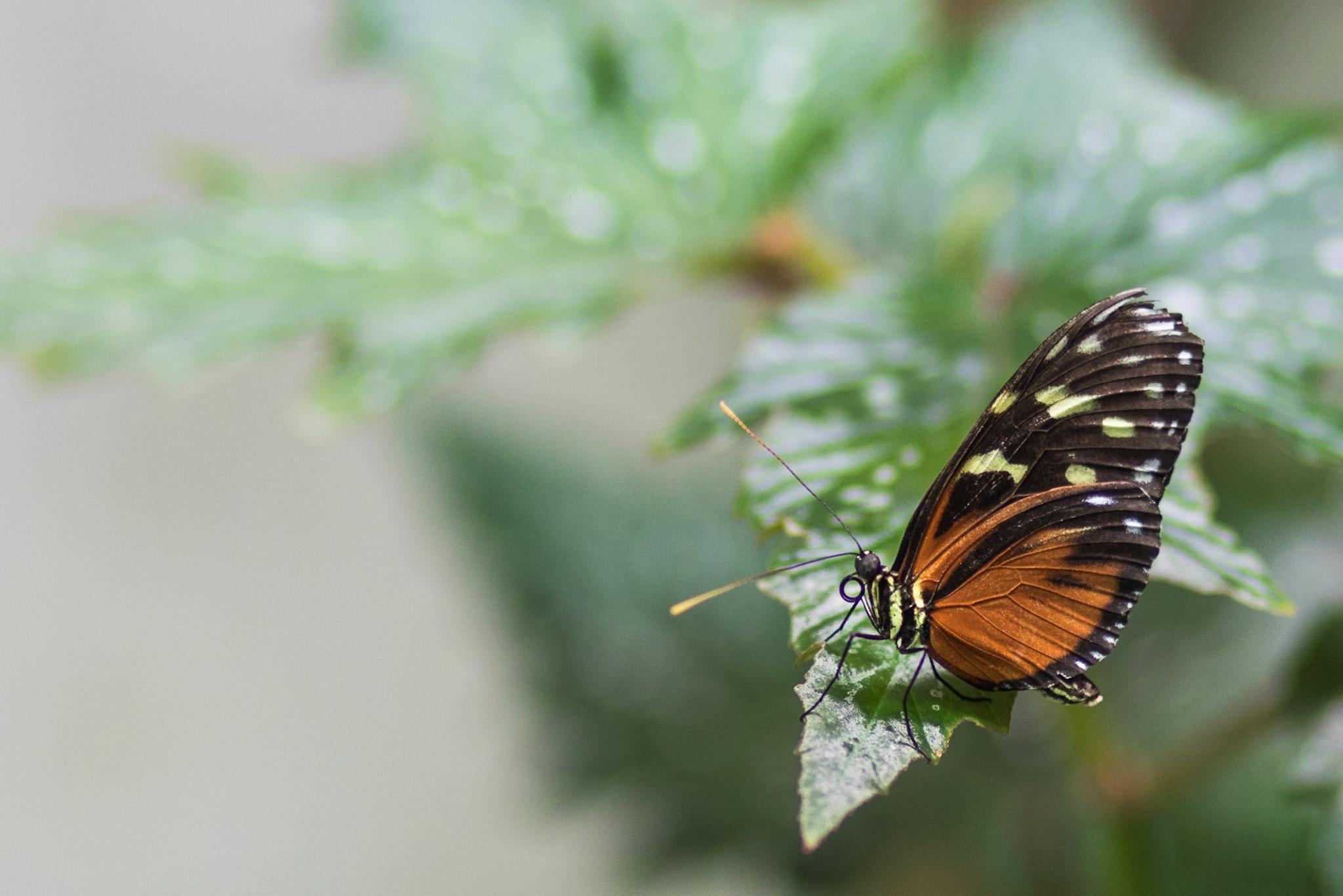 Butterfly by René Pflamm