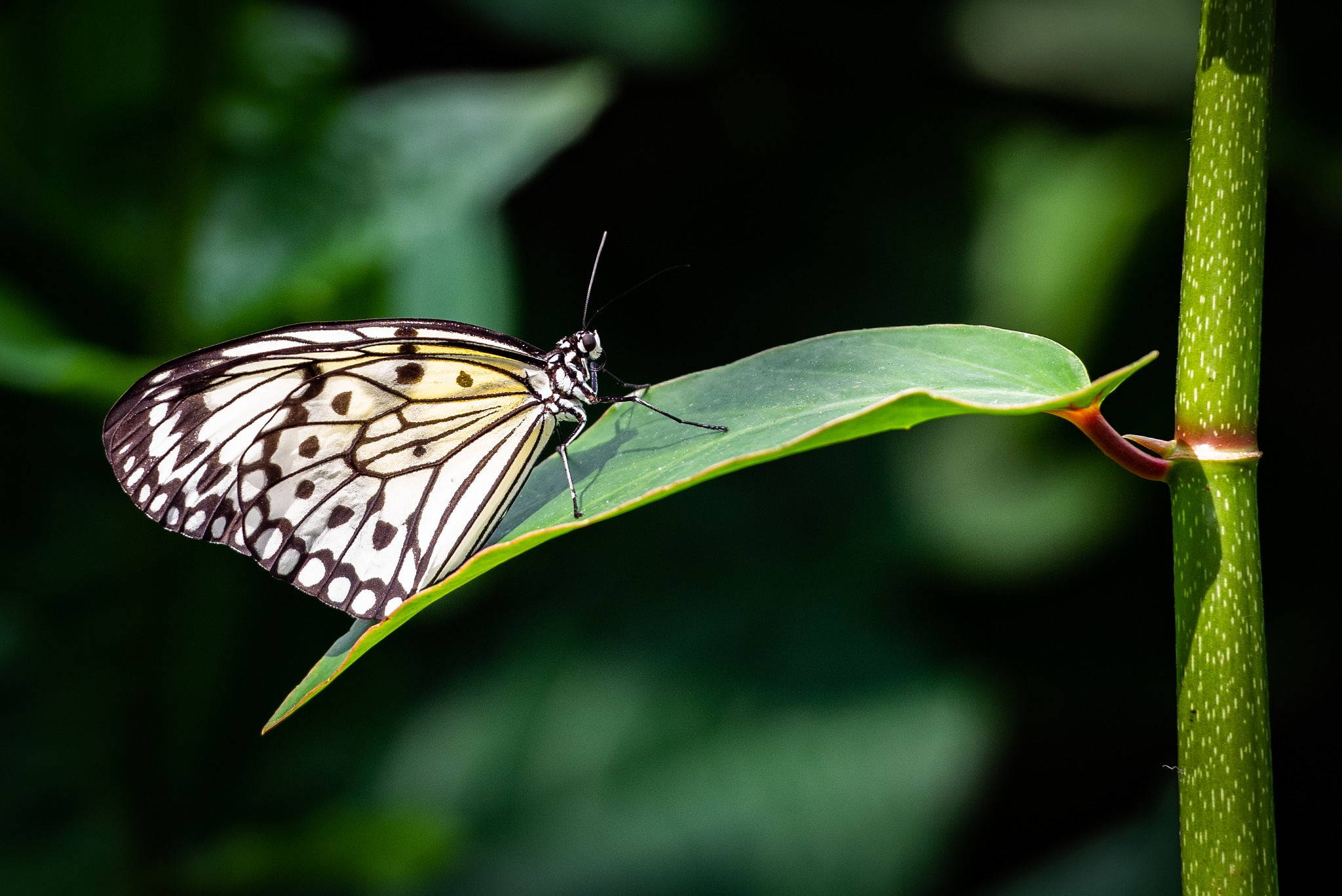 Butterfly 03 by LancePangborn