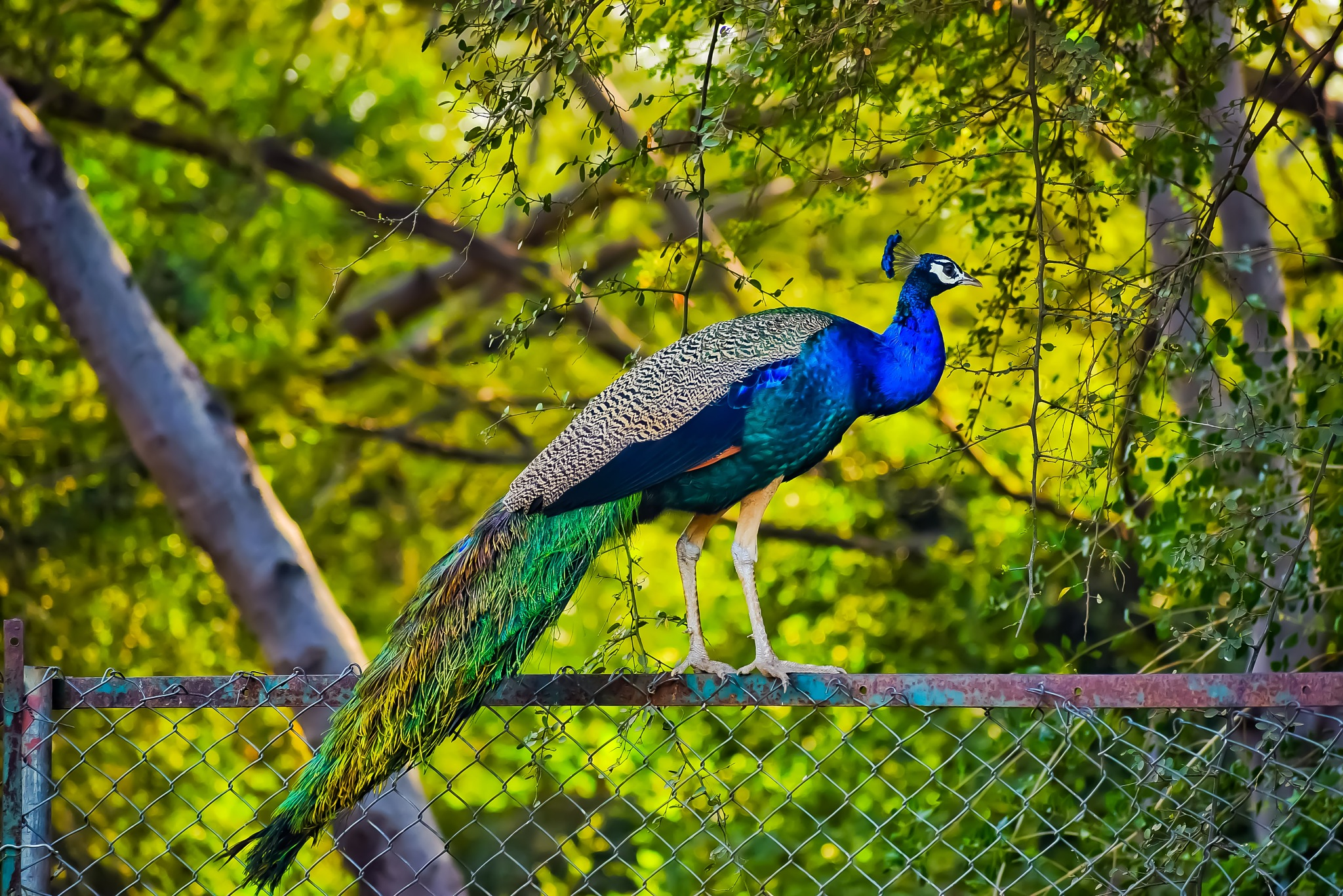 Indian Peafowl by Mehul Chaudhary