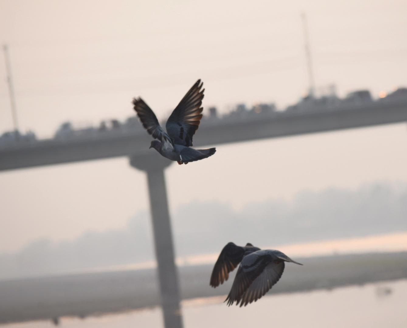 pigeons chilling near Narayani River Chitwan by Râzz Çrêsthâ