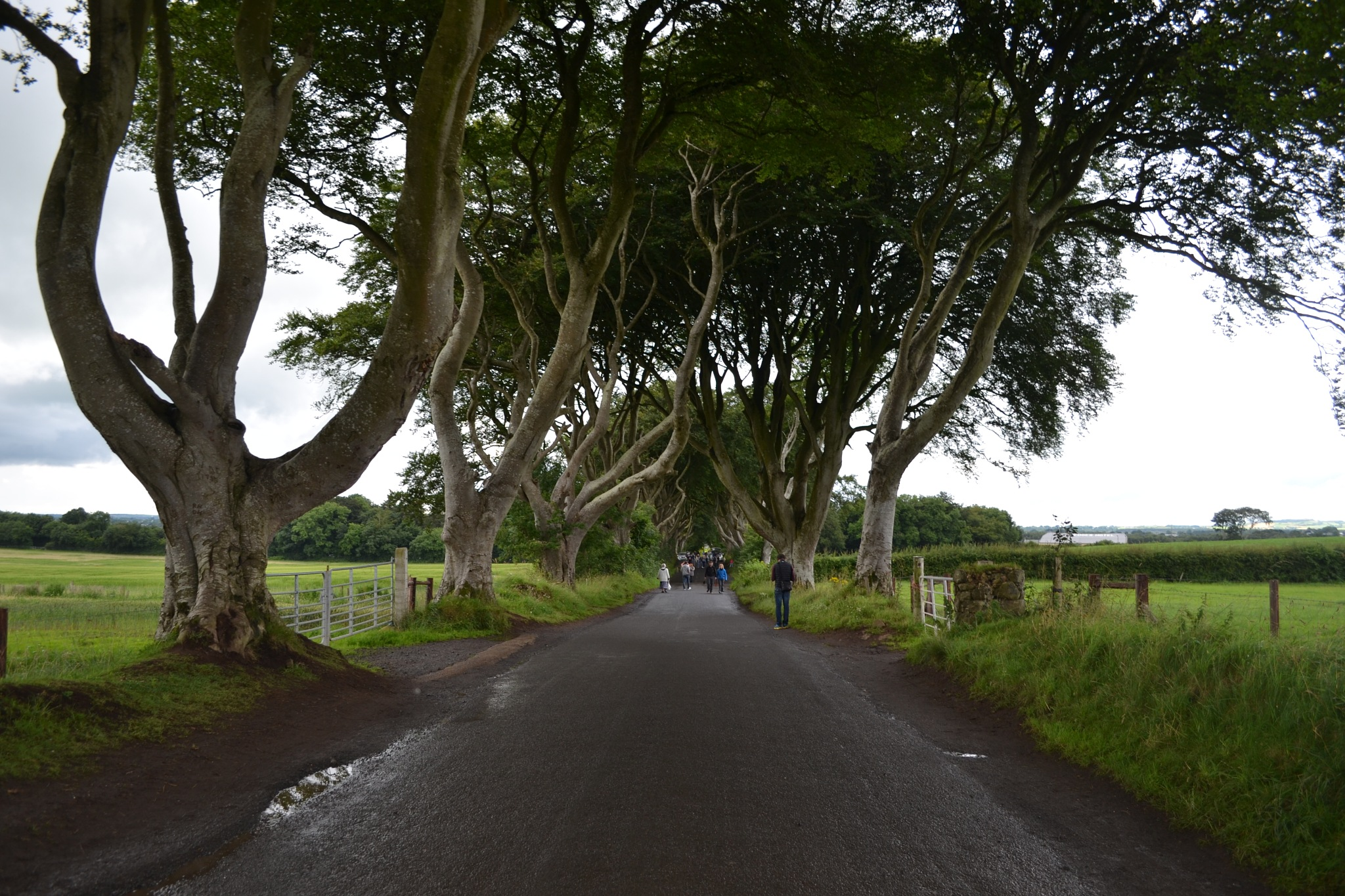 The Dark Hedges by Guendalino Marchesi
