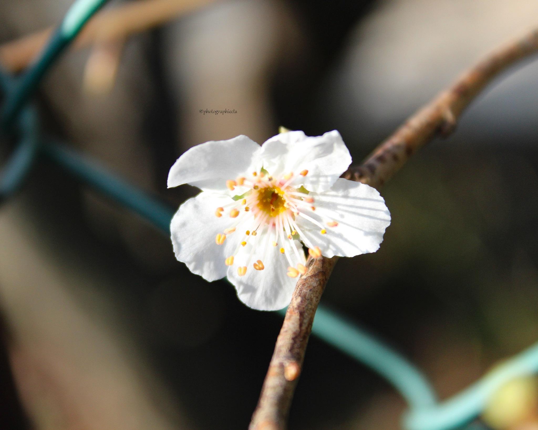 Fleurs de cerisiers by Amandine castilla