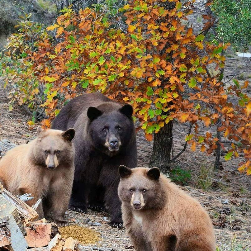 Momma and cubs by Ron Worley