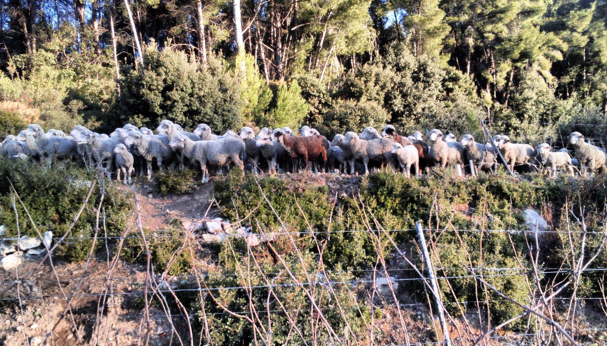 sheep by Sam Bacx