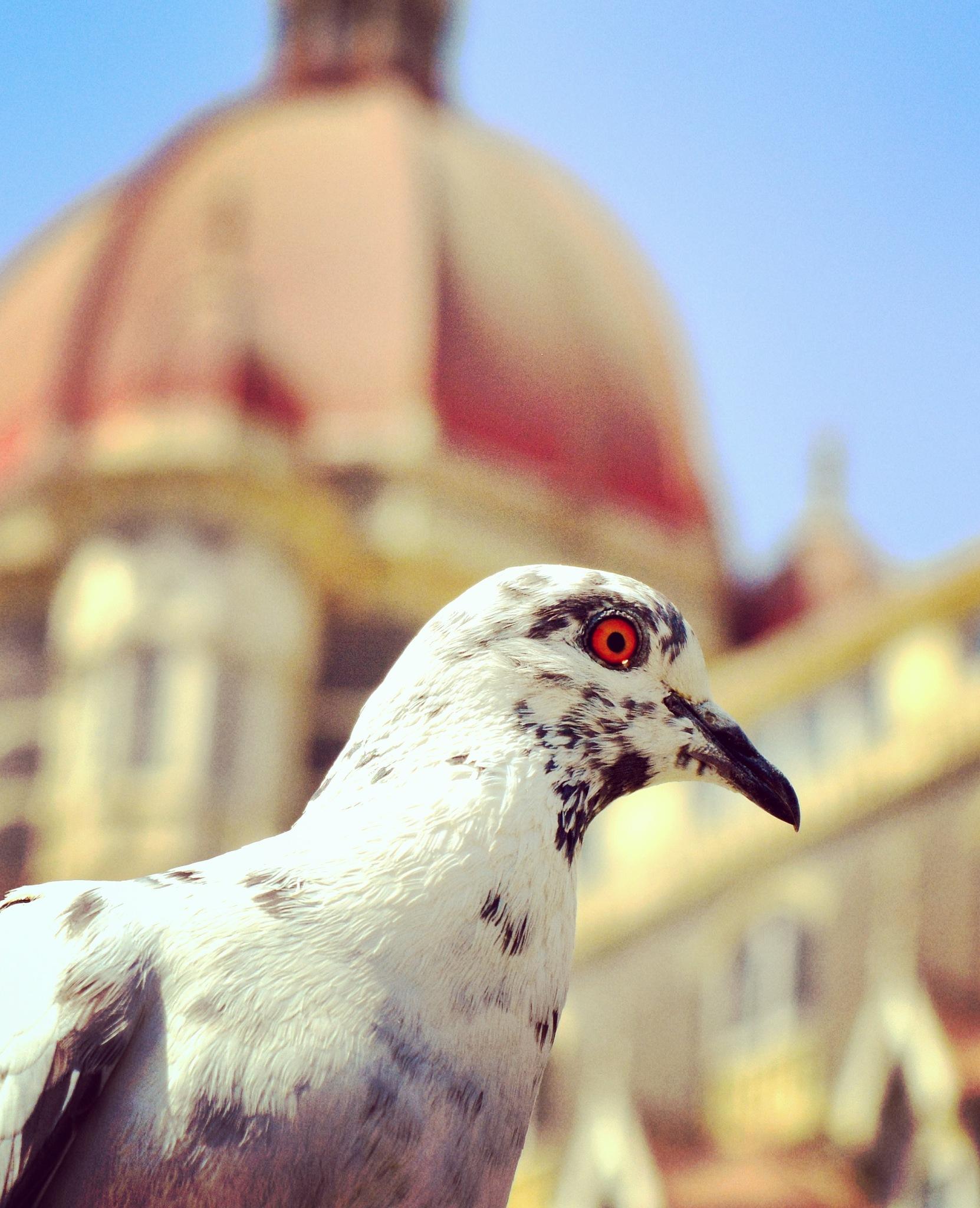 pigeon by Nayan Jain
