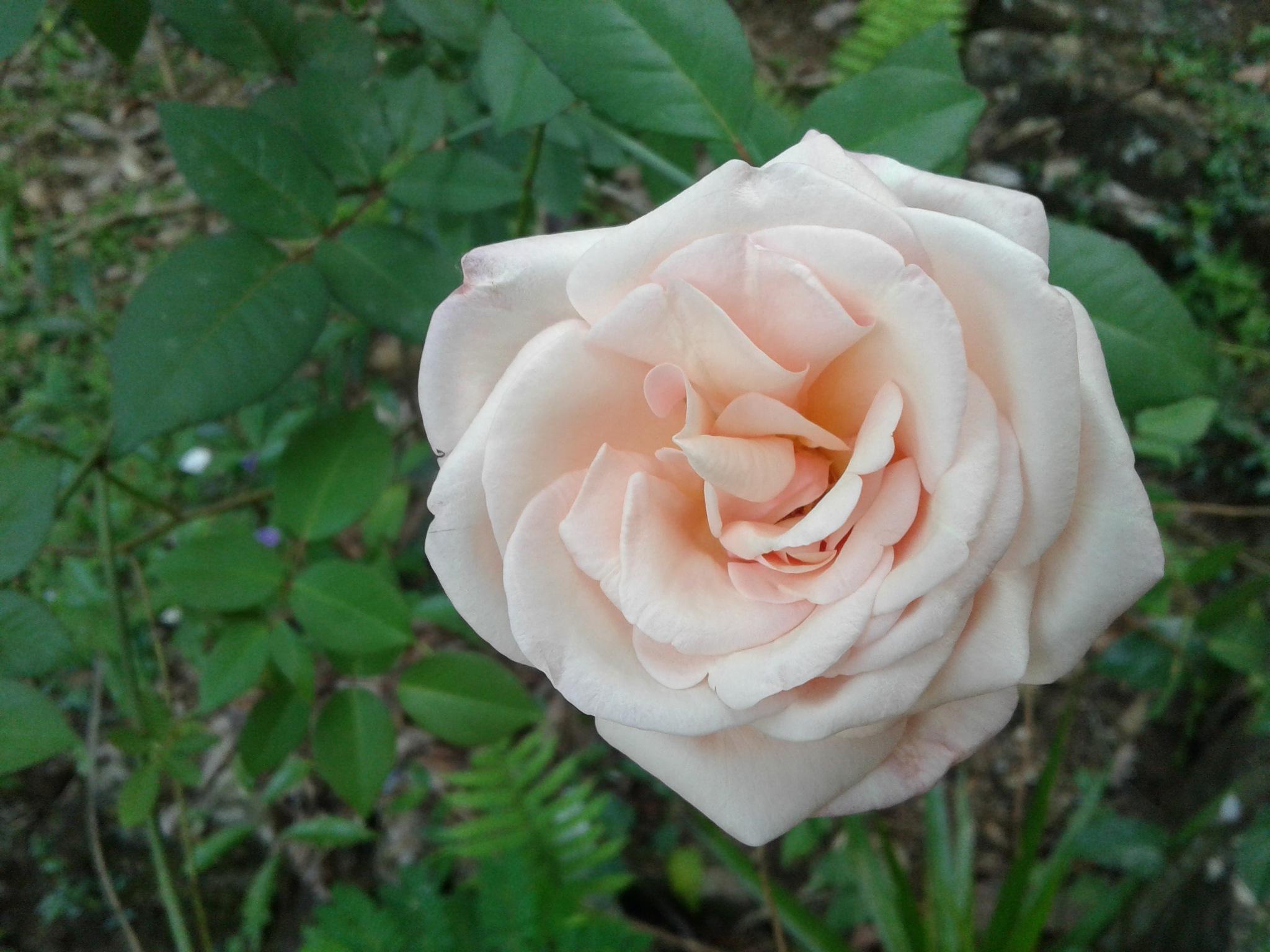 rose  by Asanka Sadaruwan