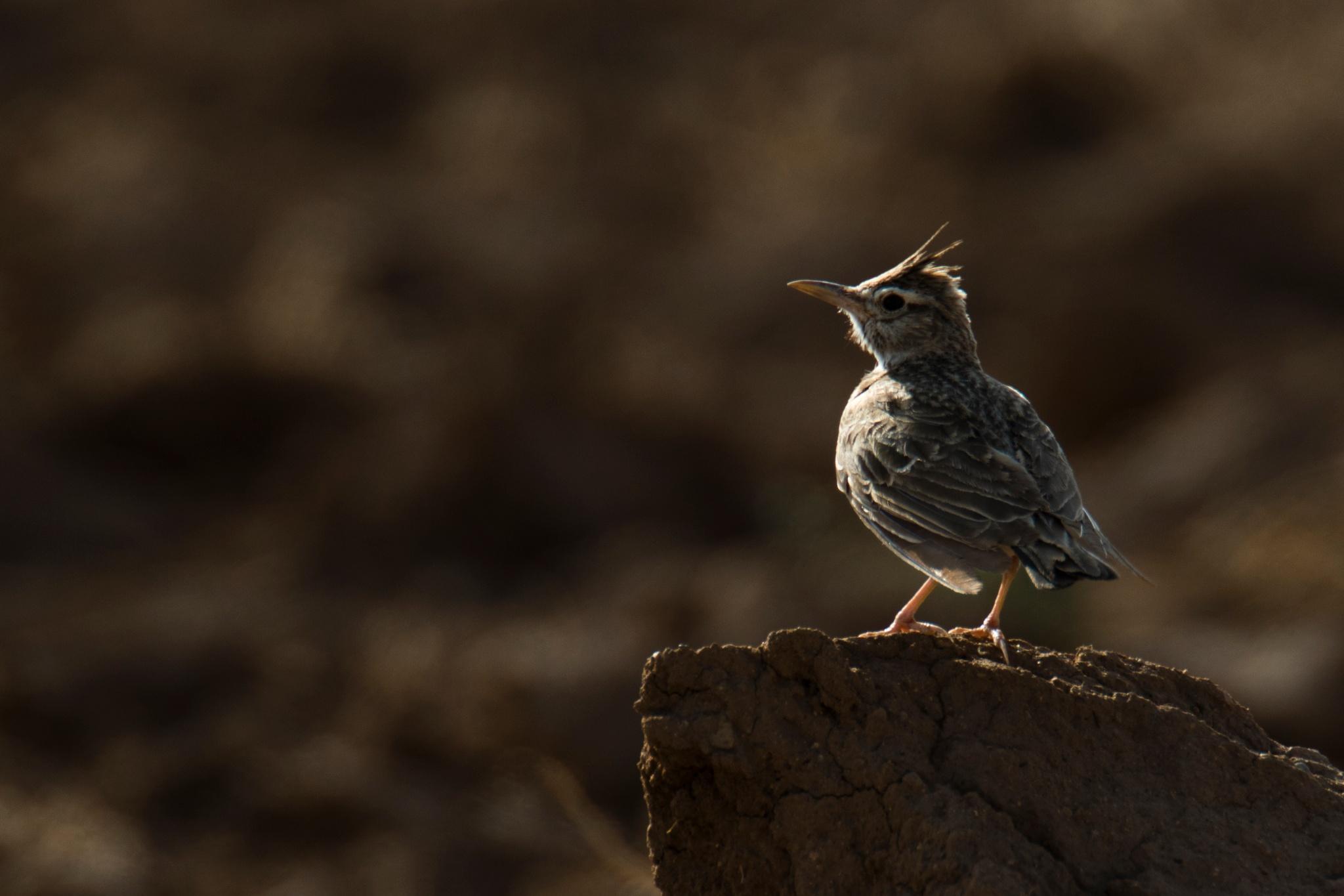Warbler by mansoor rezaeizade