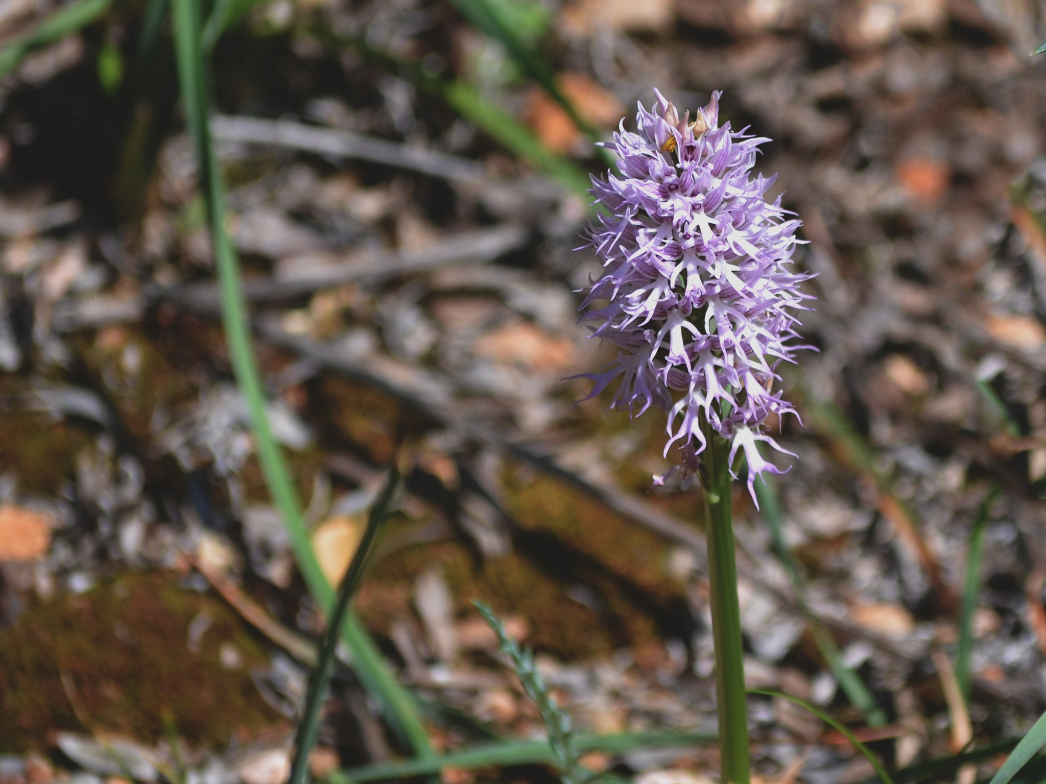 The naked man orchid by Orla Frank