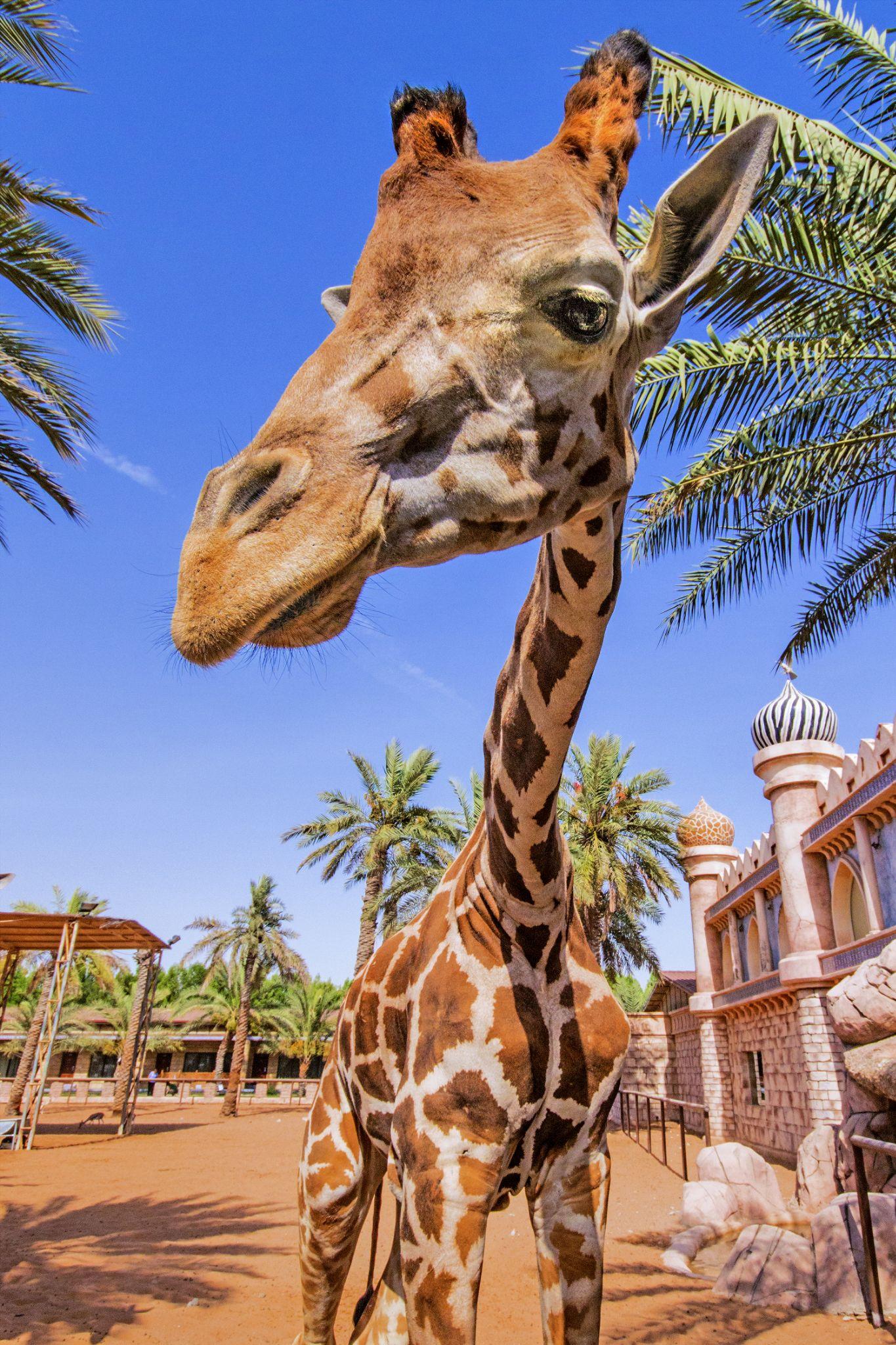 Giraffe by Arslan Mughal