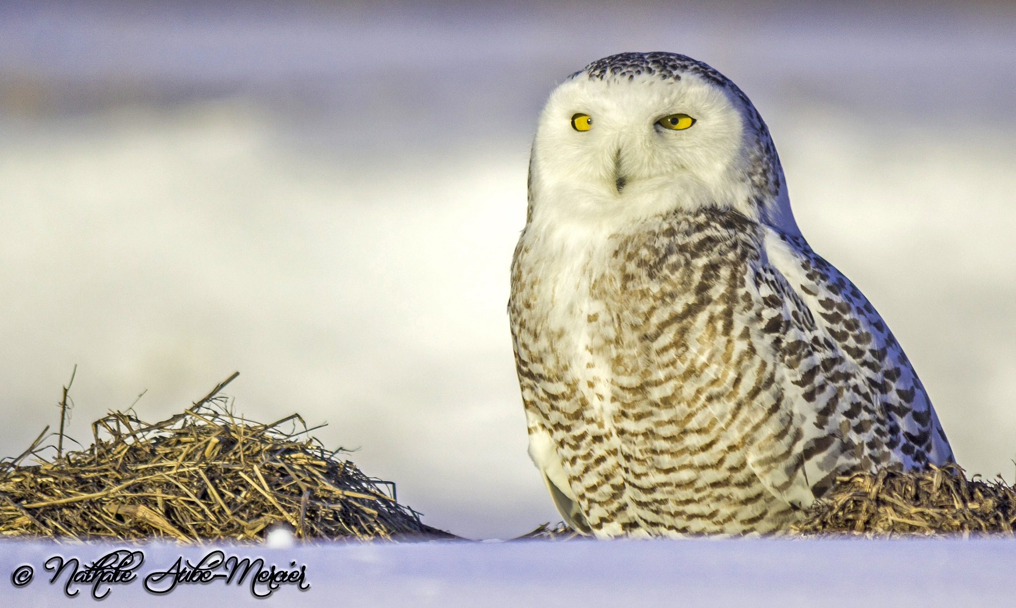 Snowy owl in snow and hay by Nathalie Mercier