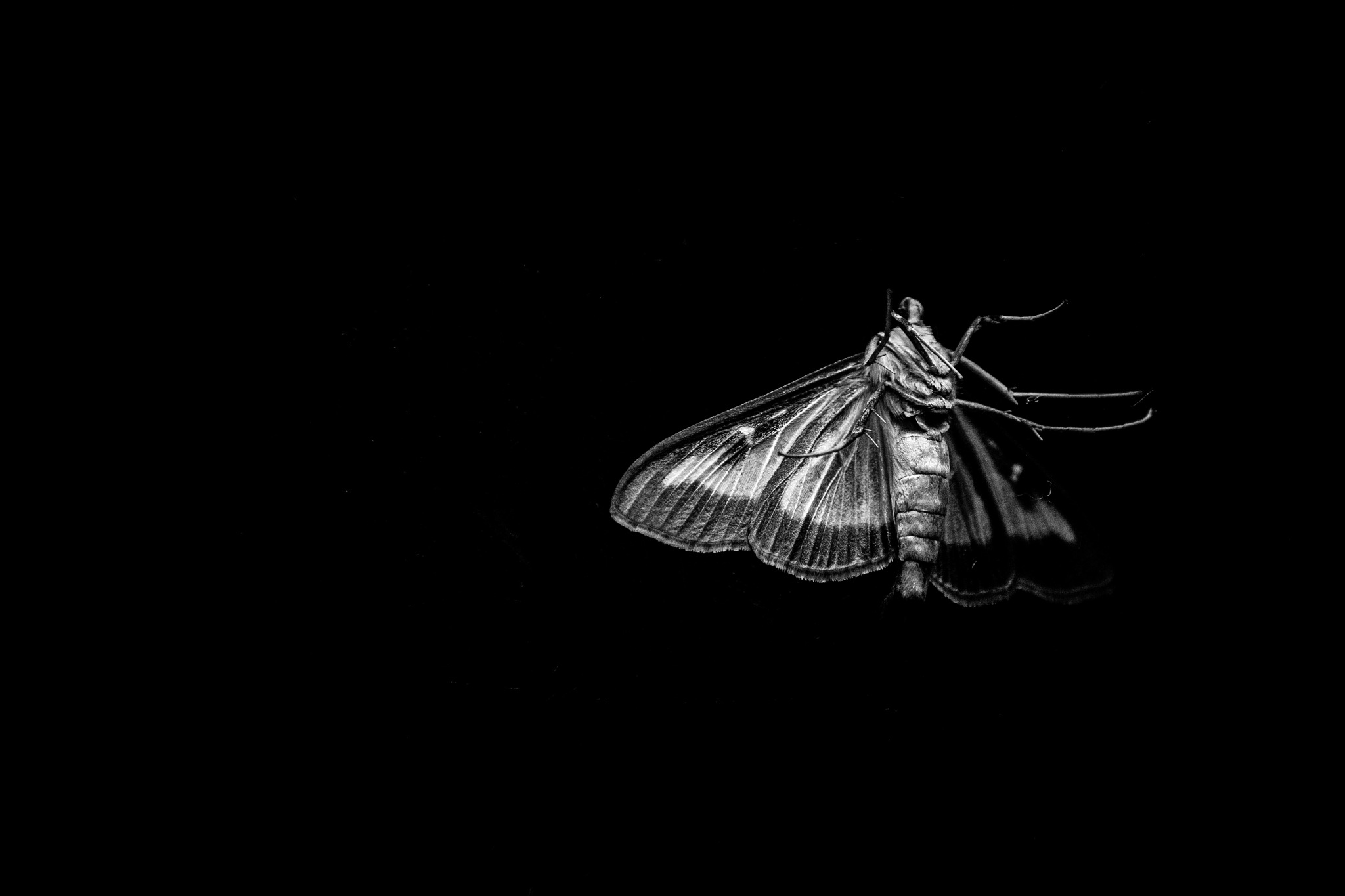 Moth by AlessandroNobili