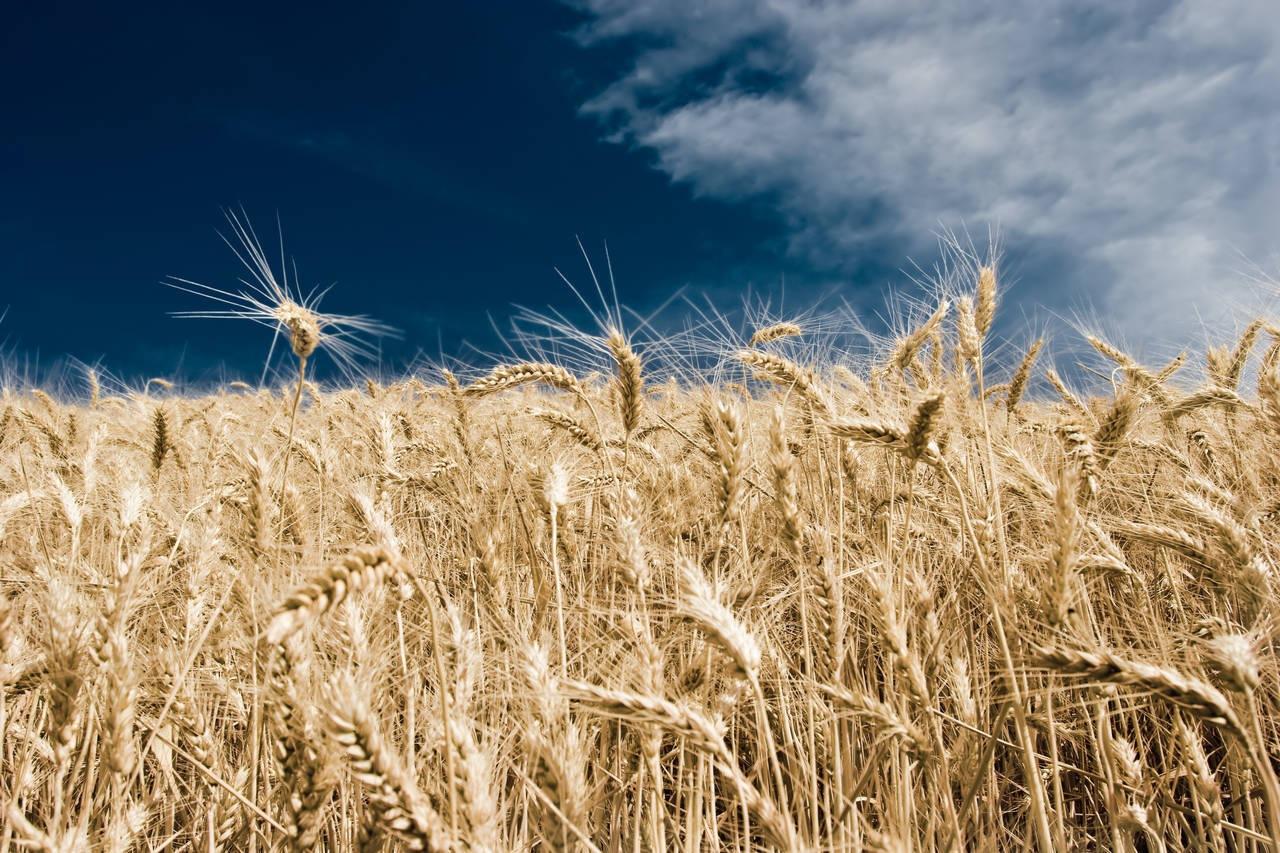 Wheat dreams... by Ian Taylor