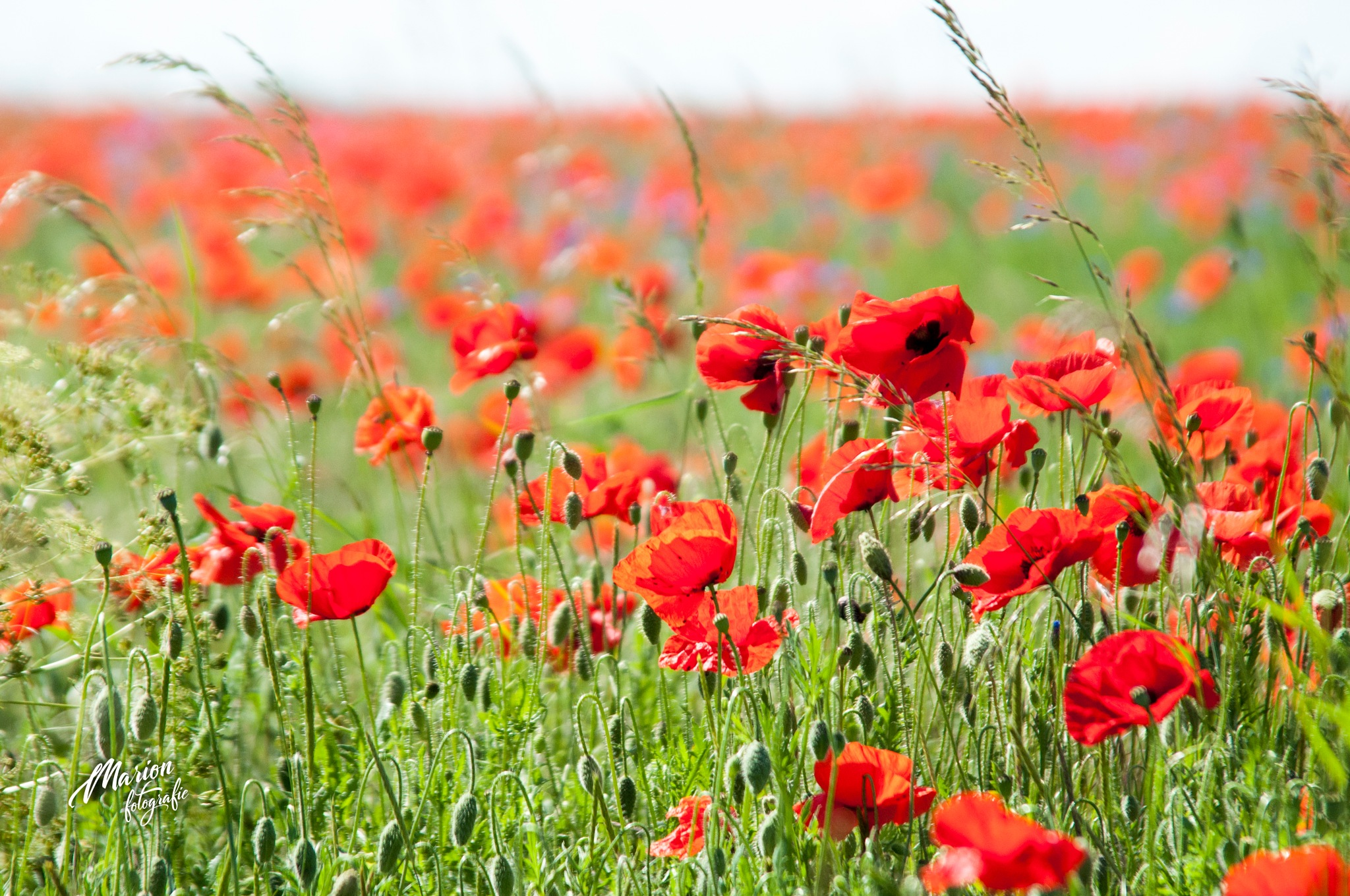 Poppies in France by Marion Verhaaf