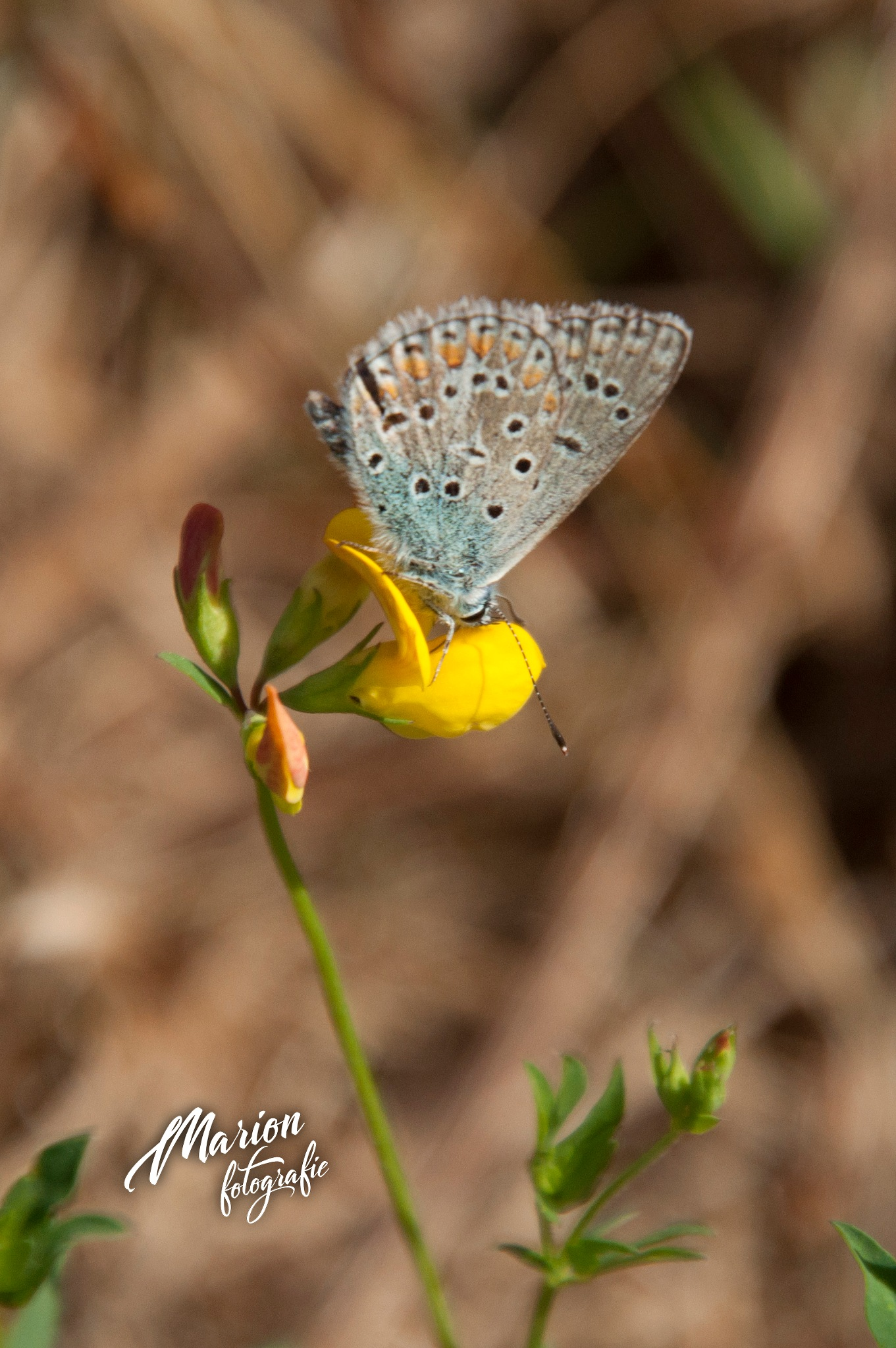 Icarusblauwtje, butterfly by Marion Verhaaf