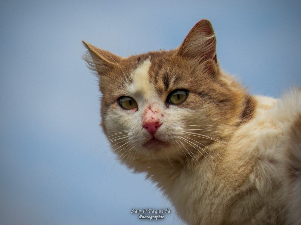 The cat is beautiful by Samir Taguida