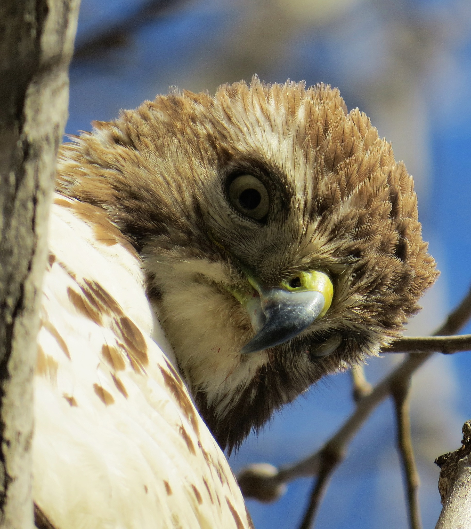 Red Tailed Hawk by bradfelton