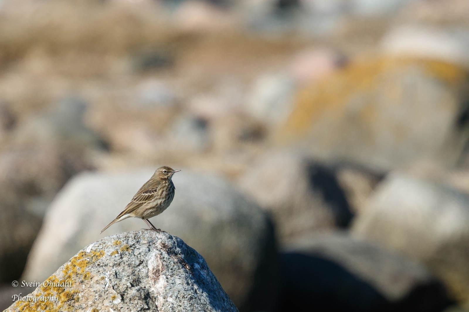 Bird on rock  by Svein Omdahl