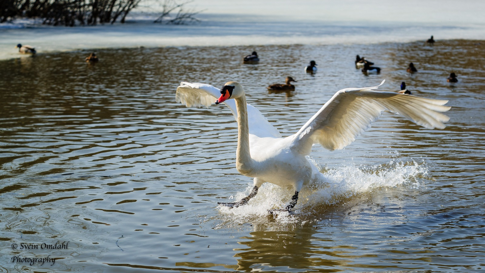 Mute swan by Svein Omdahl
