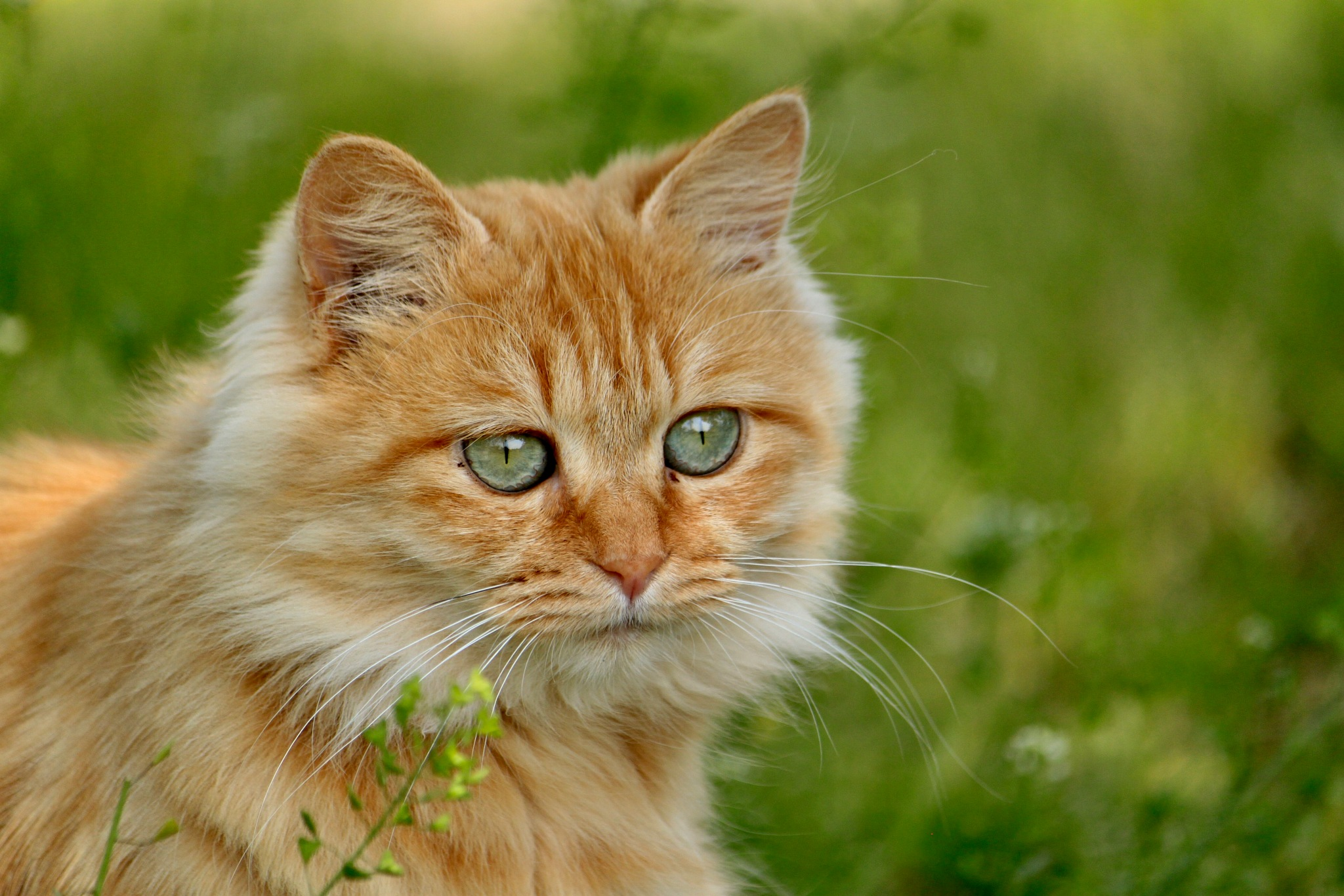Red tabby cat  by Katsuko6