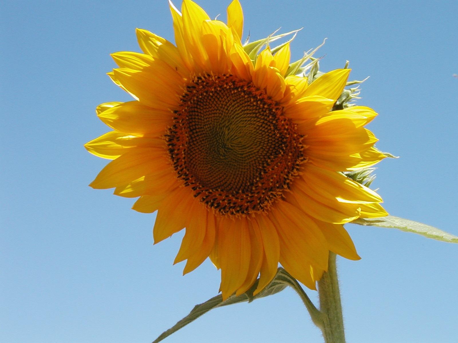 Botanical Sunflower by John Banks