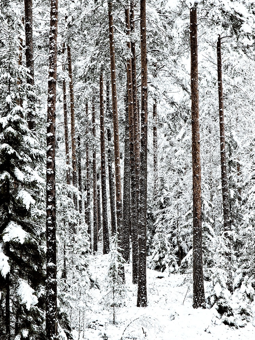 Winter forest by Claes Sjunnesson