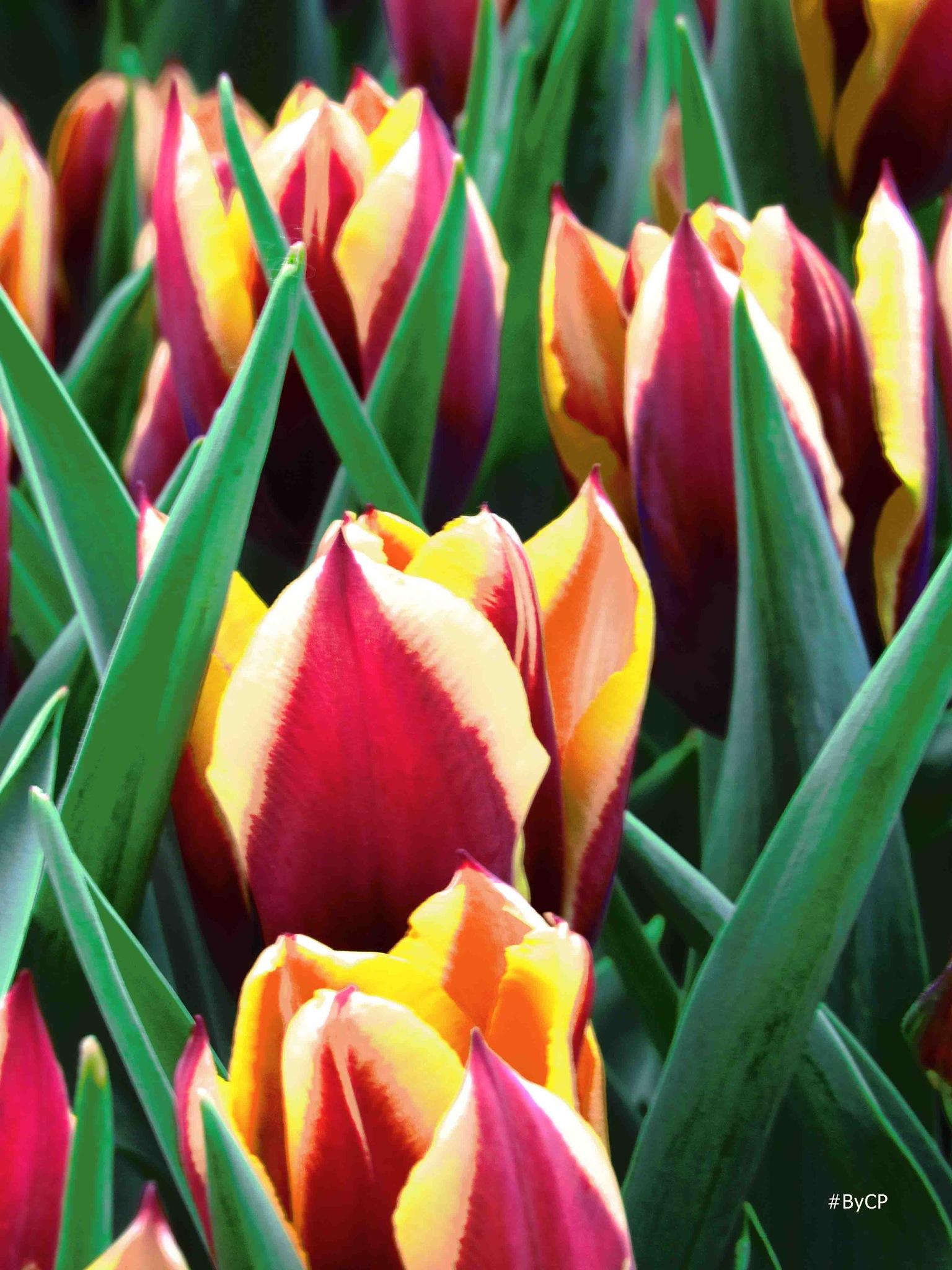 Tulipani by Cazzavillan Paolo